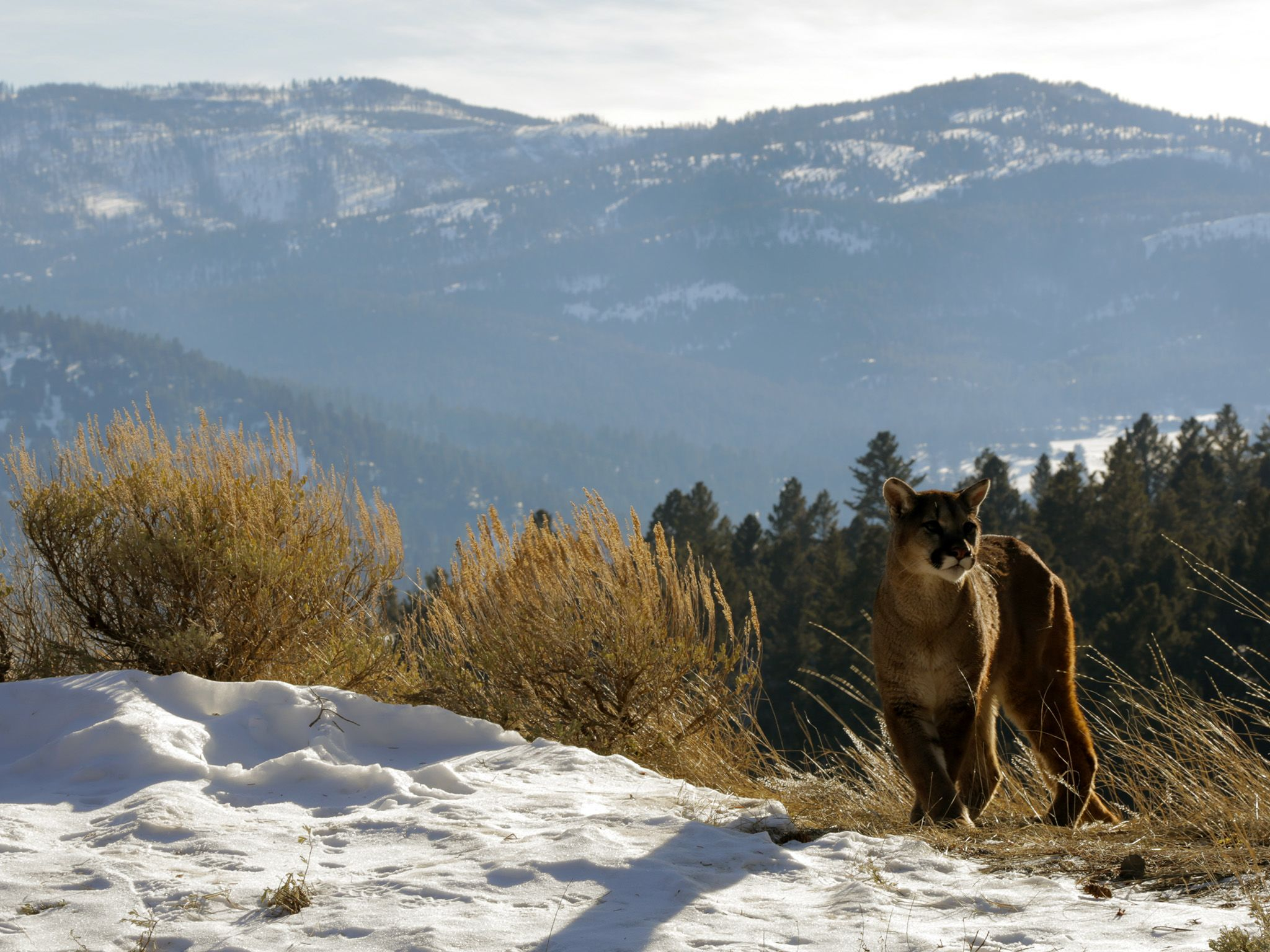 Helena, Montana, USA: A mountain lion is spotted in Montana near where Levi Cheff and his... [Photo of the day - 十一月 2014]