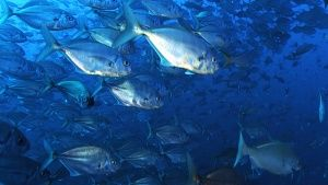 Socorro: Big, tight shoals of fish mo... [Photo of the day - 19 NOVEMBER 2014]