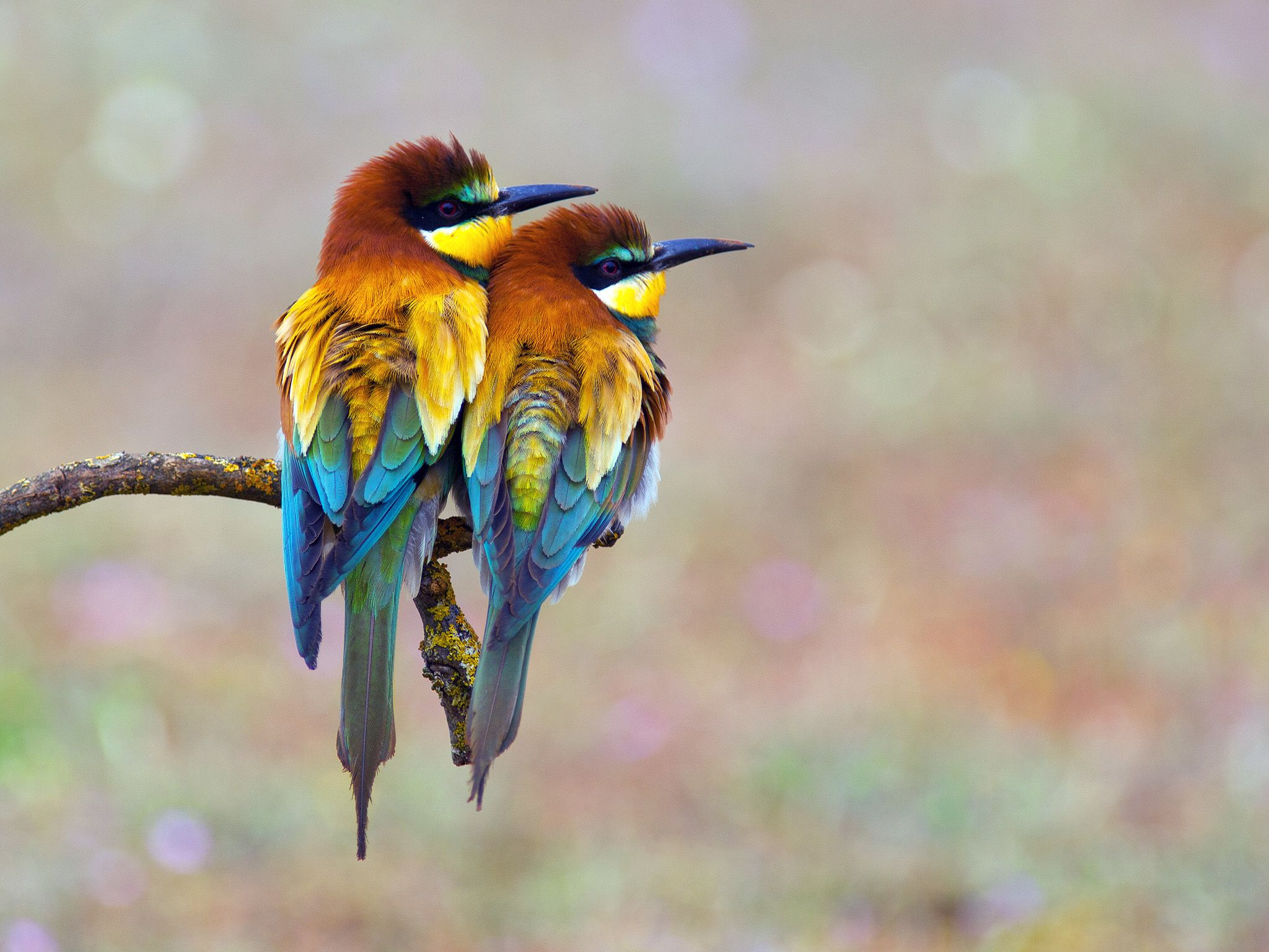 A pair of colourful Bee-eaters sitting on a twig. During courtship the male feeds large items suc... [Dagens foto - november 2014]