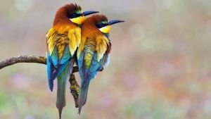 A pair of colourful Bee-eaters sittin... [Photo of the day - 22 نوامبر 2014]