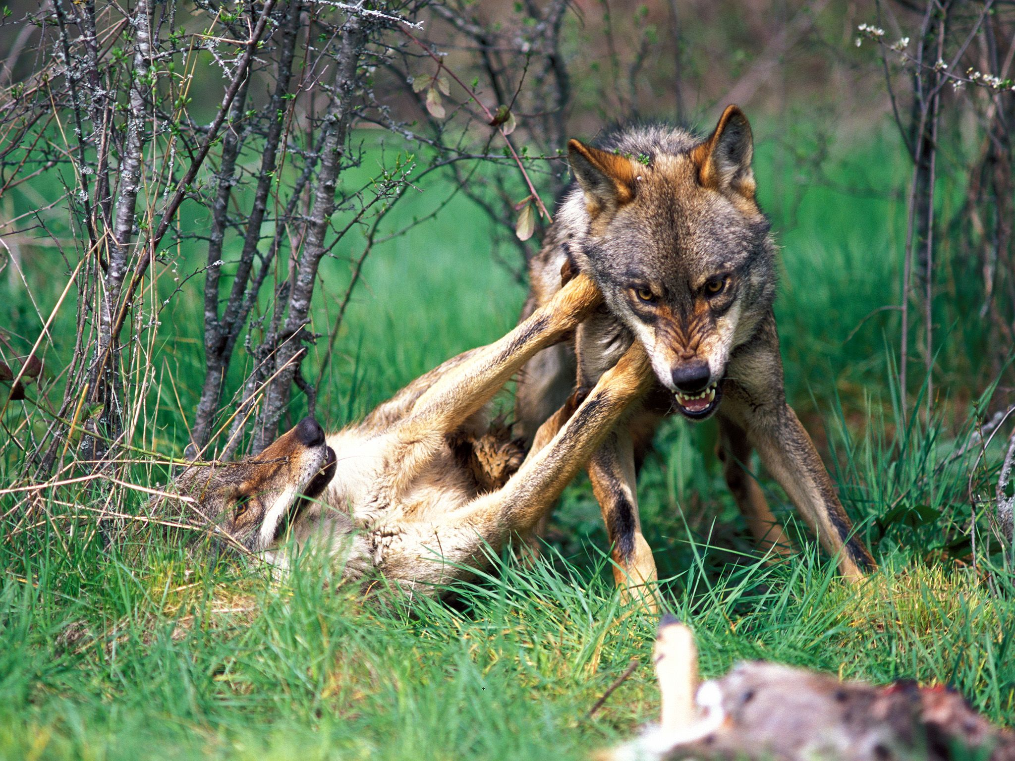 The Iberian wolf, a predator which can be found in forests and plains of northwestern Spain, demo... [Photo of the day - نوامبر 2014]