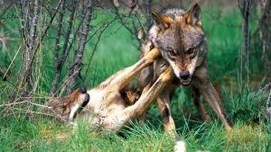 The Iberian wolf, a predator which ca... [Photo of the day - 27 NOVEMBRO 2014]