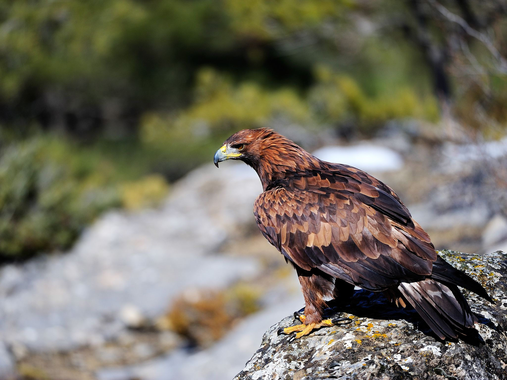The magnificent, sharp-eyed Golden eagle is a common bird of prey of the northern hemisphere. It... [Photo of the day - 十一月 2014]