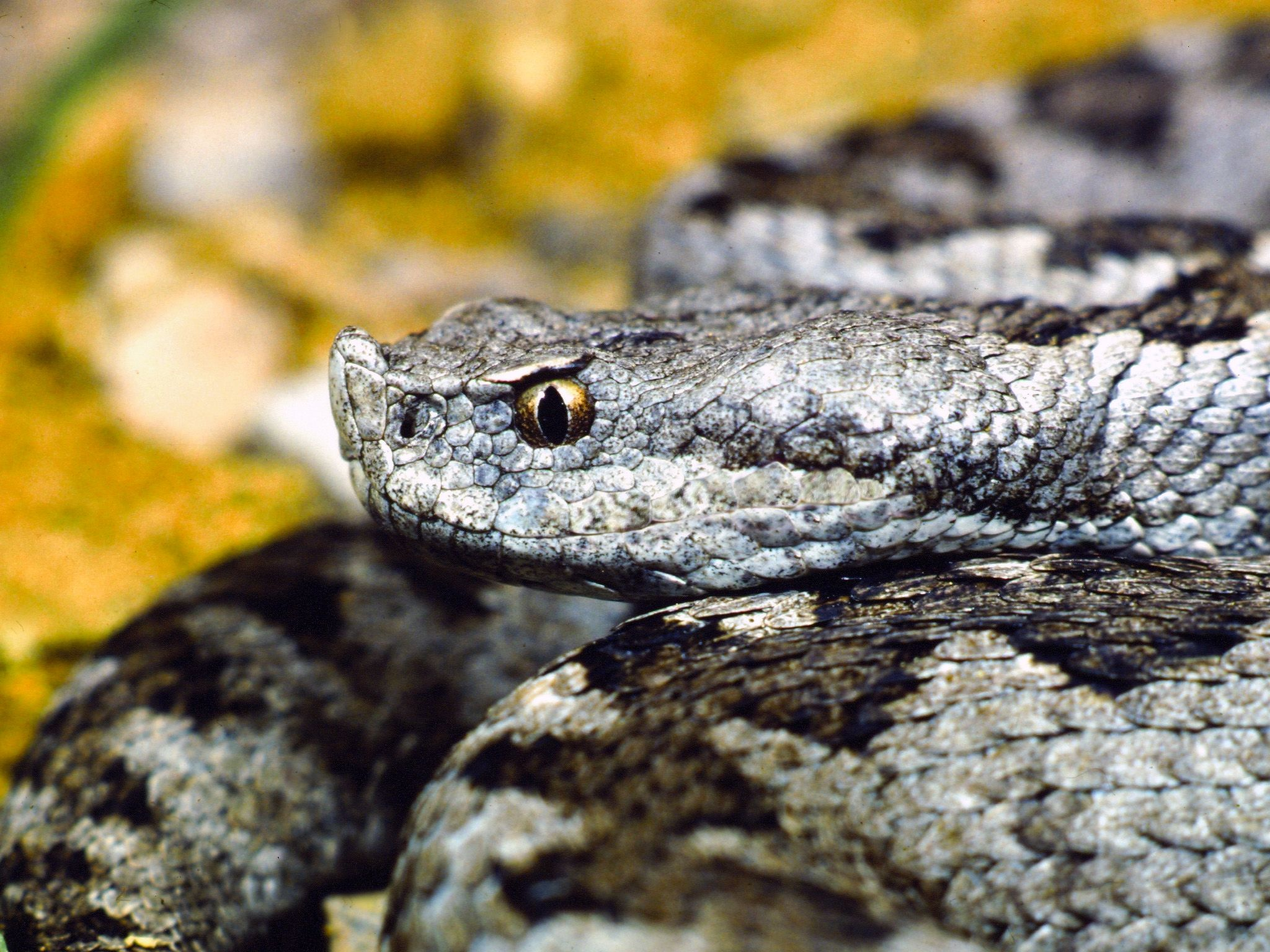 Spain: The Lataste's viper can be seen day or night but usually it hides under rocks. This i... [Photo of the day - دسامبر 2014]