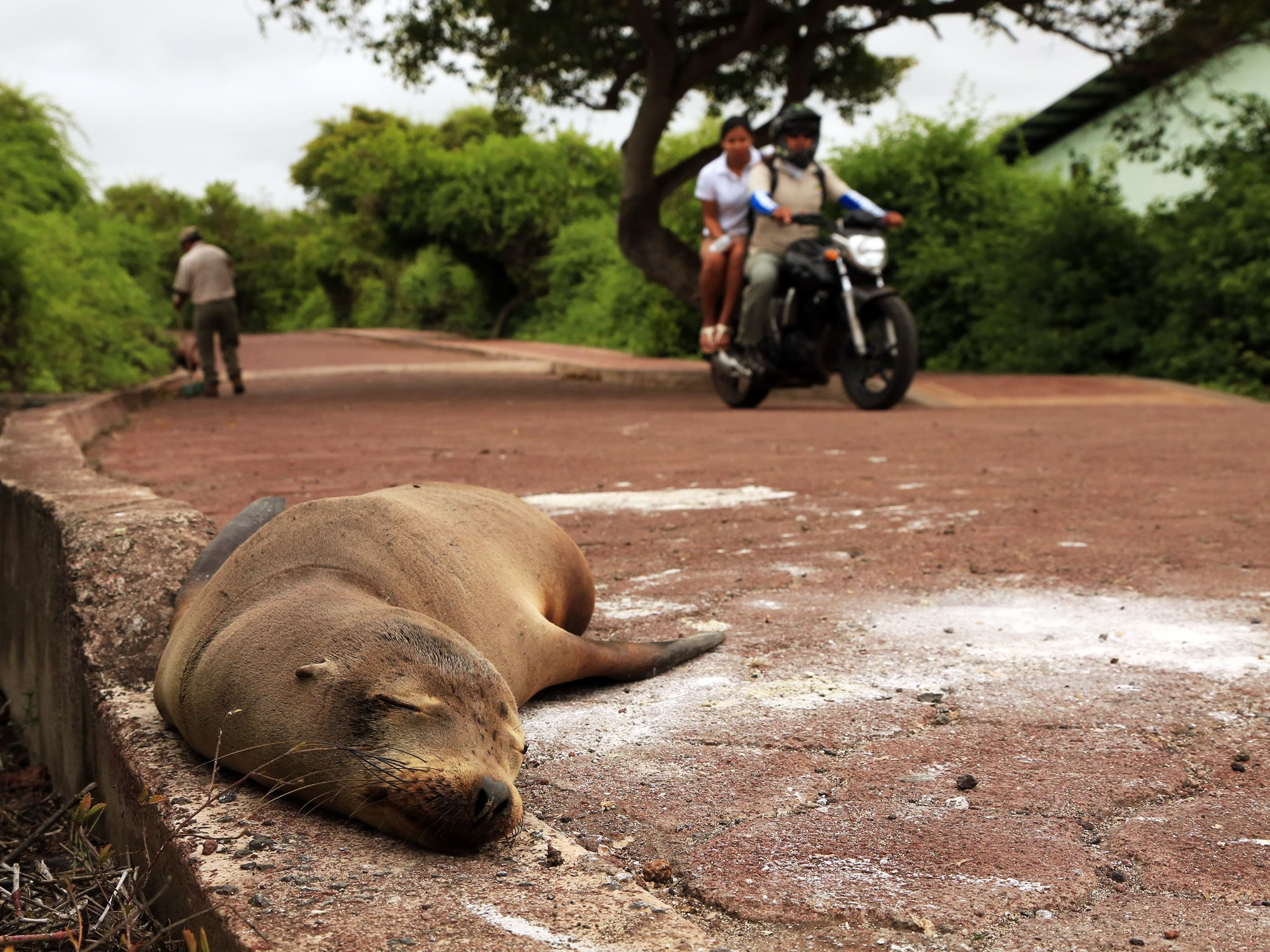 Puerto Ayora, Santa Cruz Island, Galapagos, Ecuador: A sea lion sleeps on the road at Galapagos N... [Photo of the day - دسامبر 2014]