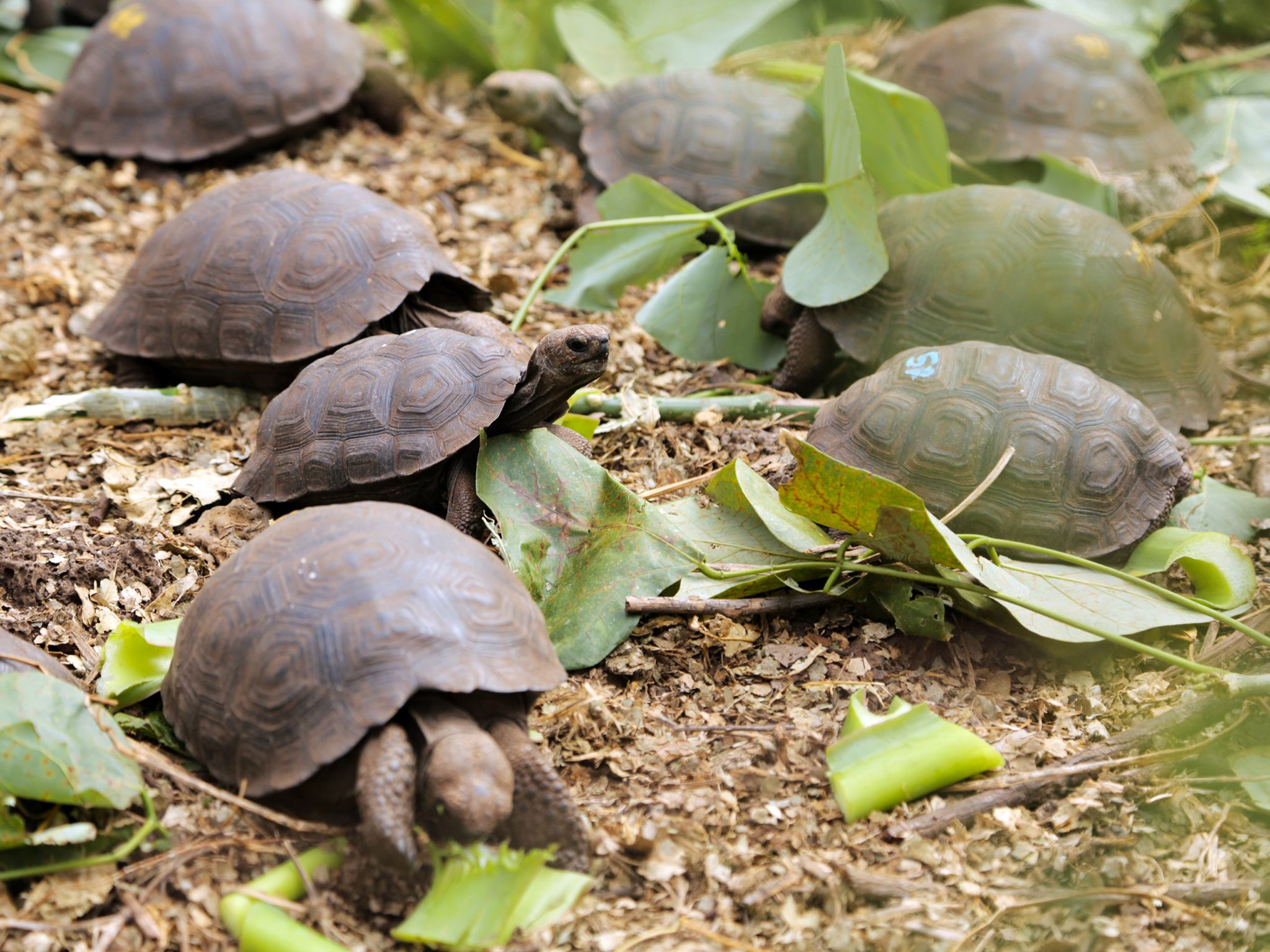 Puerto Ayora, Santa Cruz Island, Galapagos, Ecuador: Baby giant Galapagos tortoises feast on leav... [Photo of the day - دسامبر 2014]
