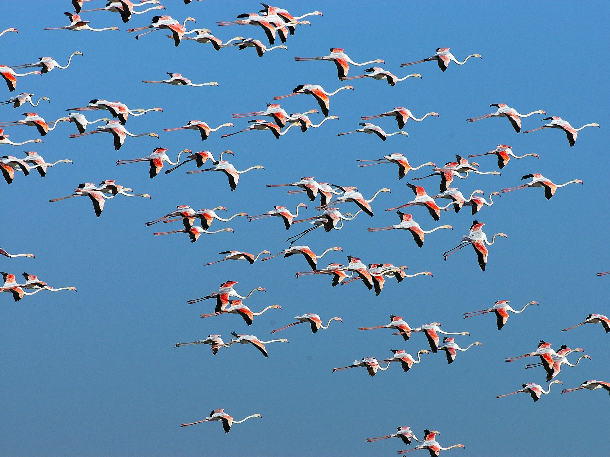 Spain: A group of vibrantly coloured flamingos takes flight in the Doñana region. These nomads c... [Photo of the day - دسامبر 2014]
