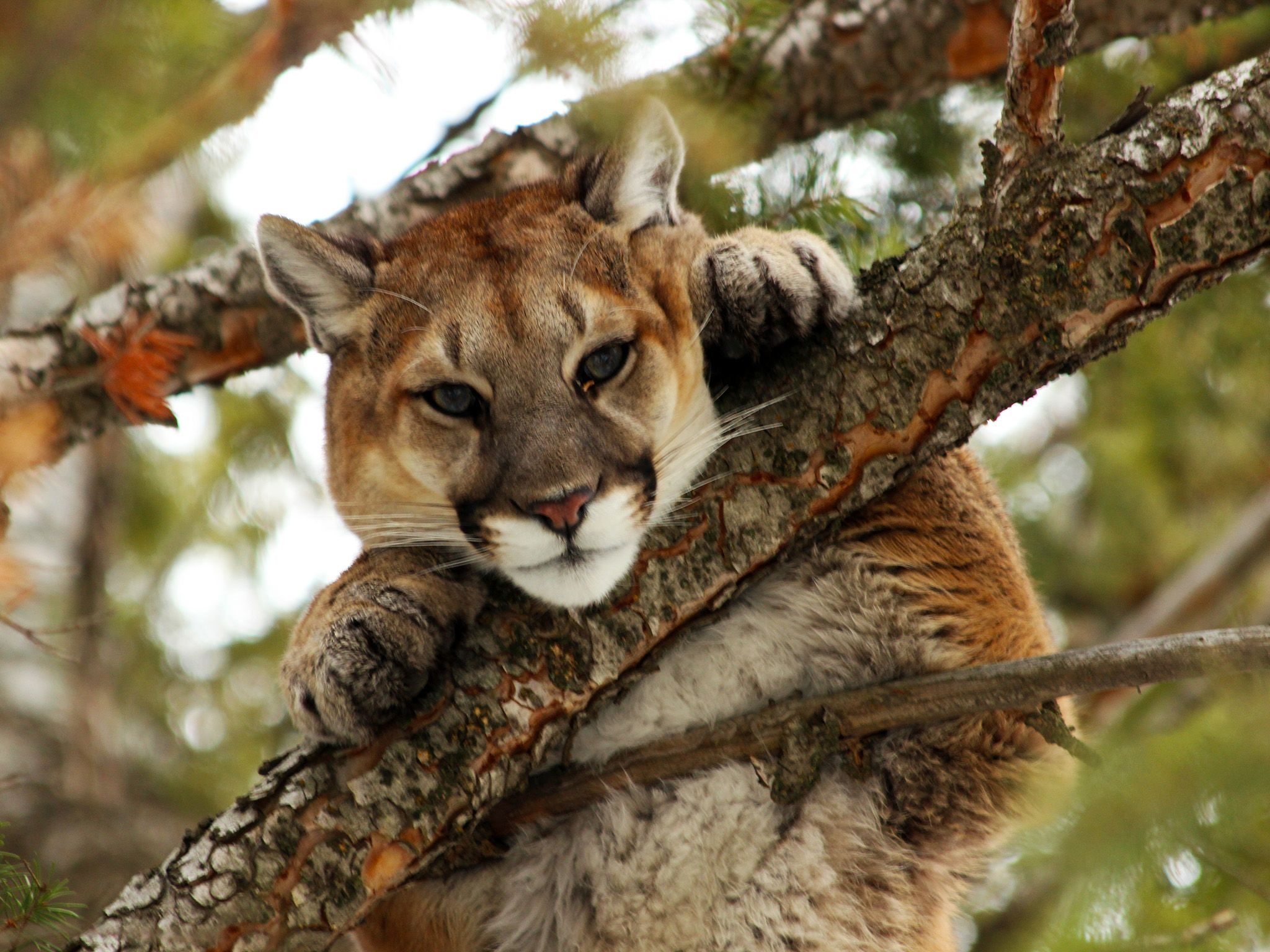 Preston, ID, USA: A mountain lion sits in the high branches of a tree and stares at the camera.... [Photo of the day - December 2014]