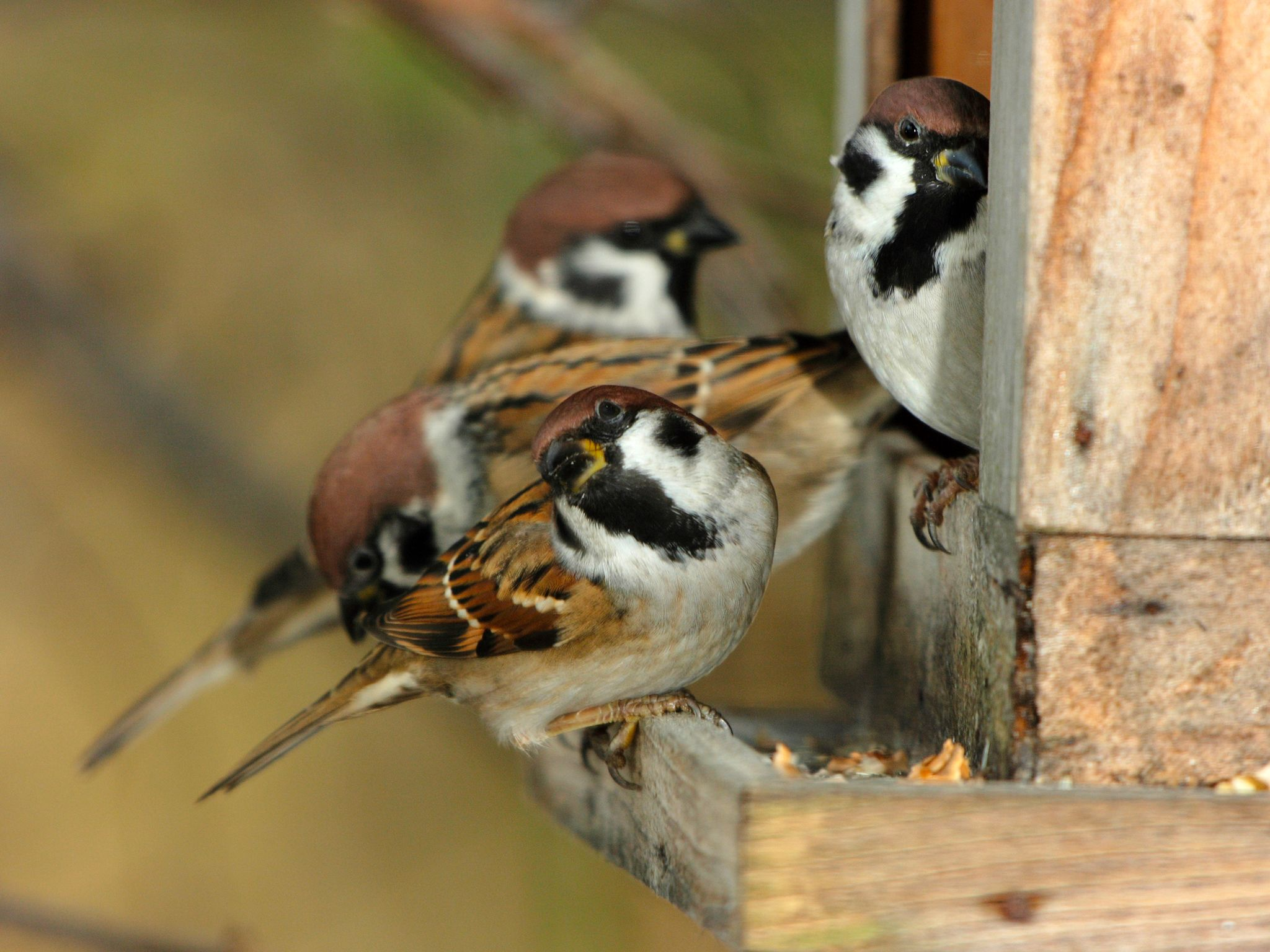 Countless songbirds live in our gardens. Besides their beautiful songs they are also very effecti... [Photo of the day - January 2015]