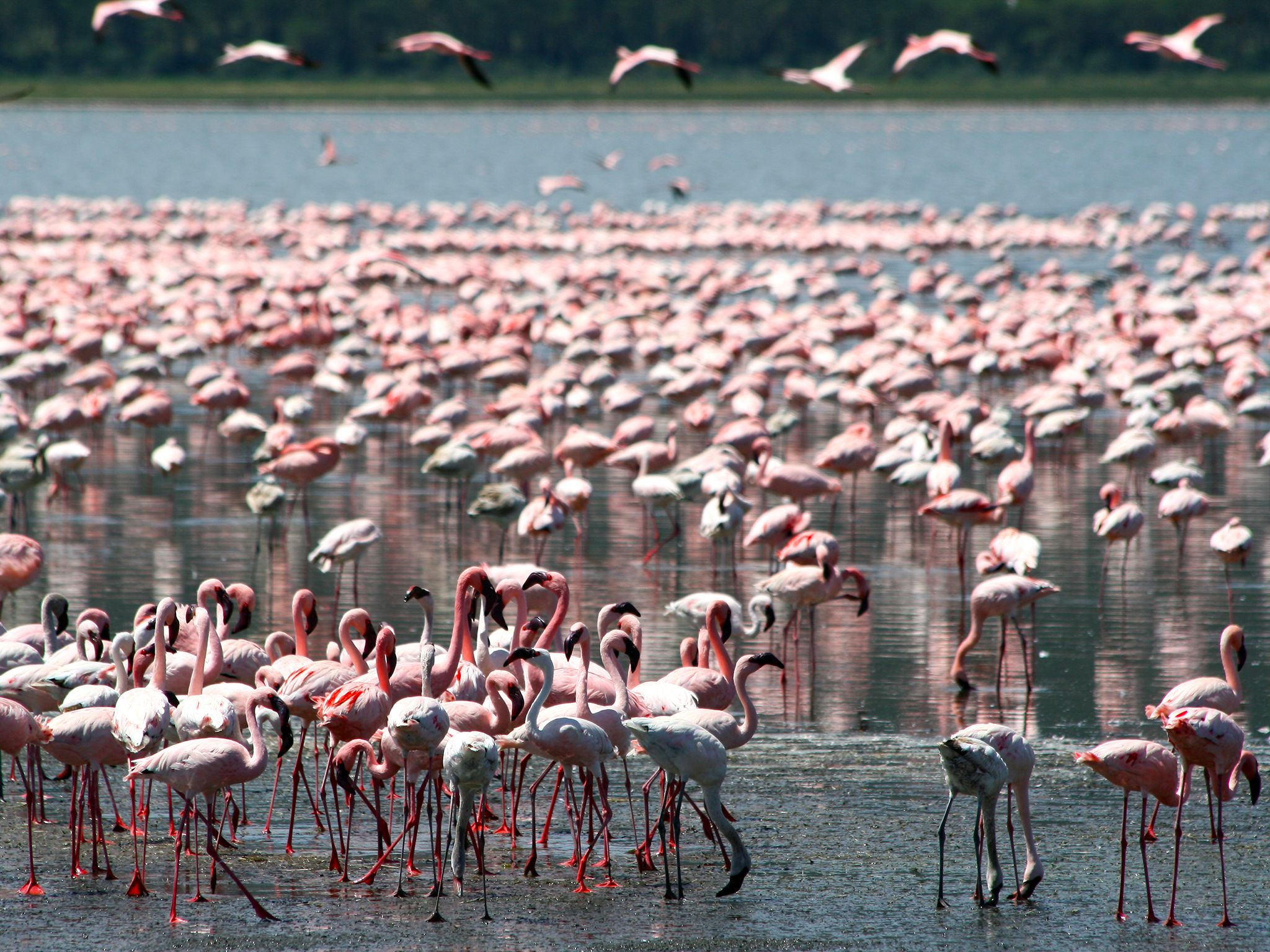 Nakuru Lake, Kenya: The Nakuru Lake's abundance of algae attracts the vast quantity of flamingos ... [Photo of the day - January 2015]