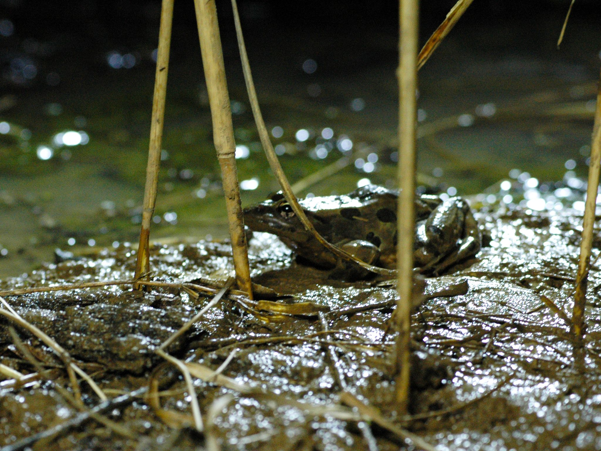 Prairie du Chien, WI USA: A leopard frog hunting insects at the water's edge. This image is from... [Photo of the day - January 2015]