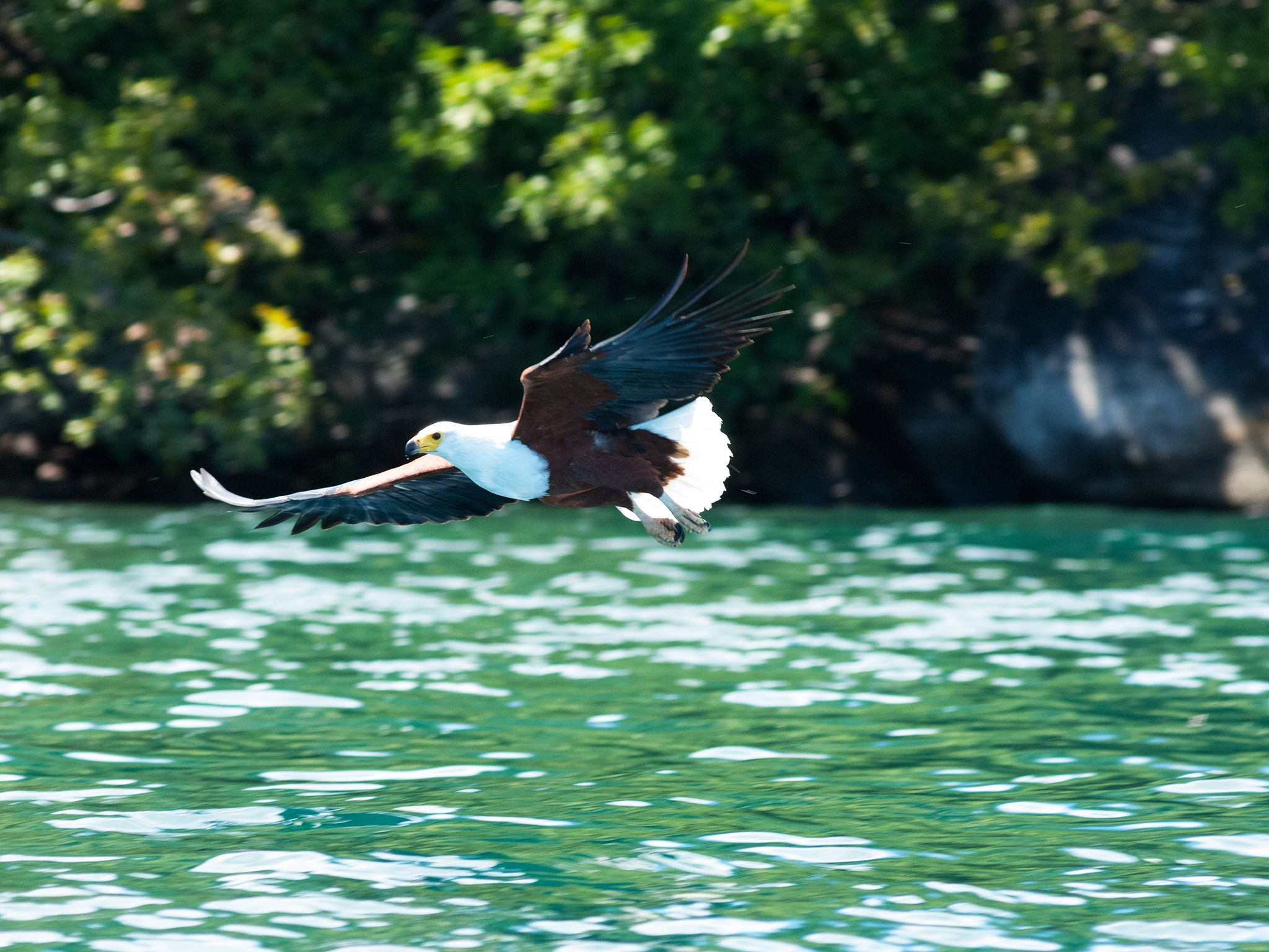 Malawi: A Fish Eagle flies over water in Malawi. This image is from Predator Fails. [Photo of the day - 一月 2015]