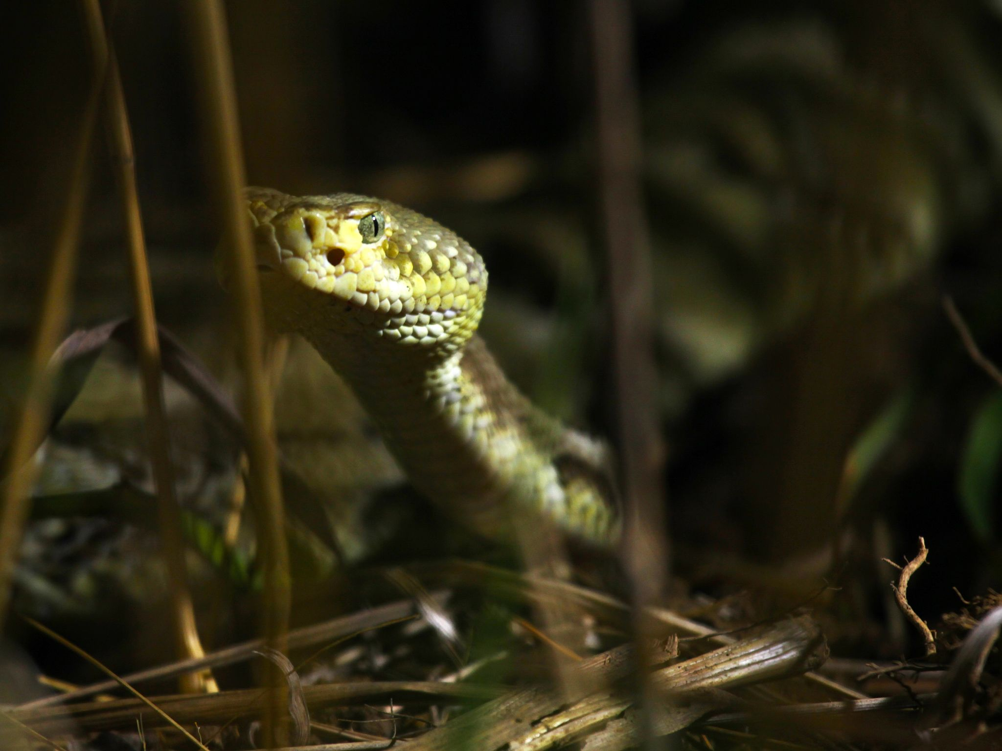 Prairie du Chien, WI USA: A timber rattlesnake moves through tall grass. This image is from... [Photo of the day - 一月 2015]