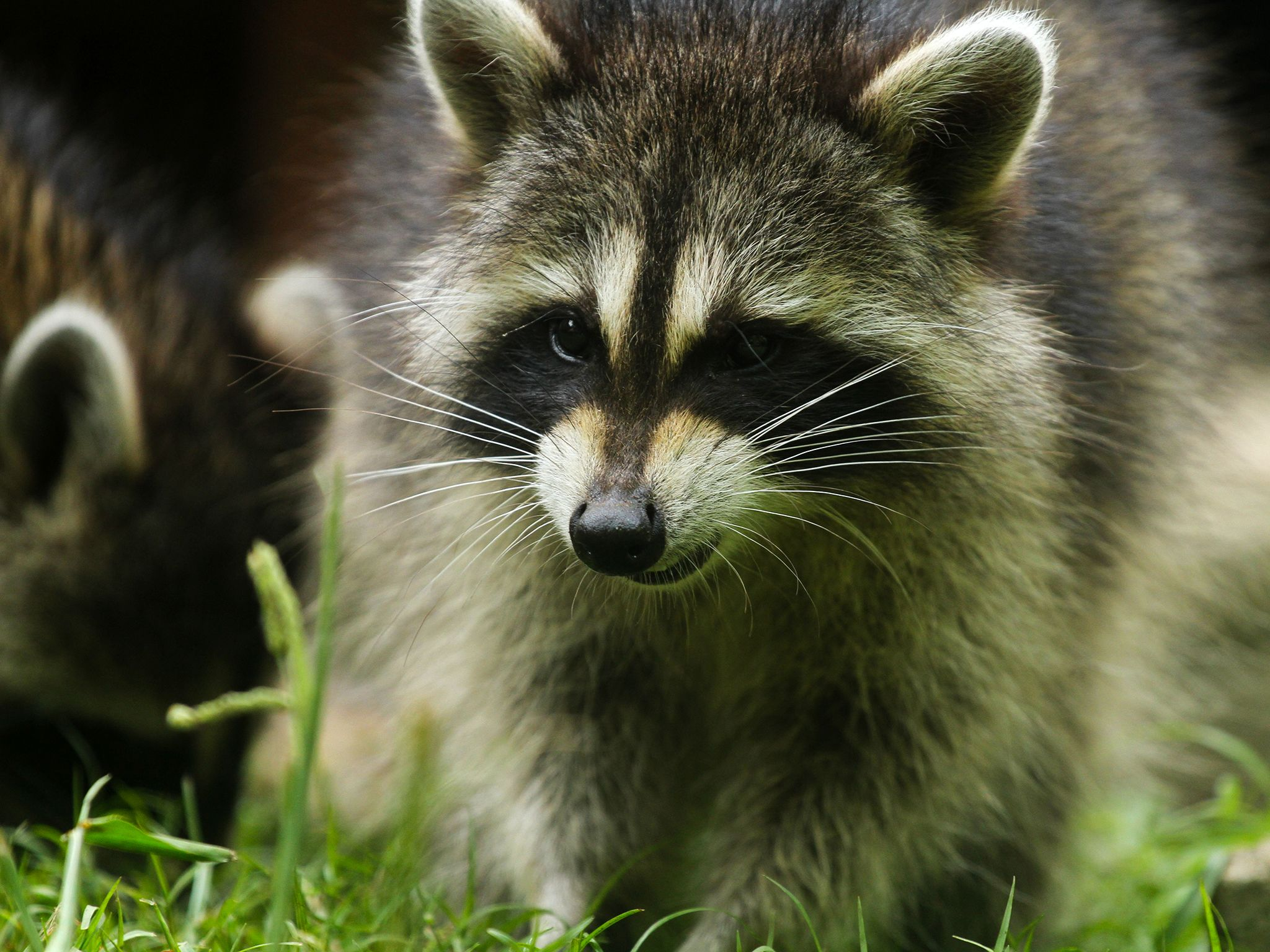 Washington, D.C.: A raccoon in the grass. This image is from Raccoon: Backyard Bandit. [Photo of the day - January 2015]