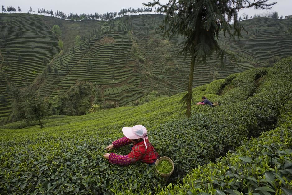 Harvesting tea leaves at the Mingshan Ecological Tea Garden in Sichuan. [  -  2011]