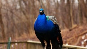Henderson, Ky: This peacock is one of... [Фото дня - 24 ЯНВАРЬ 2015]