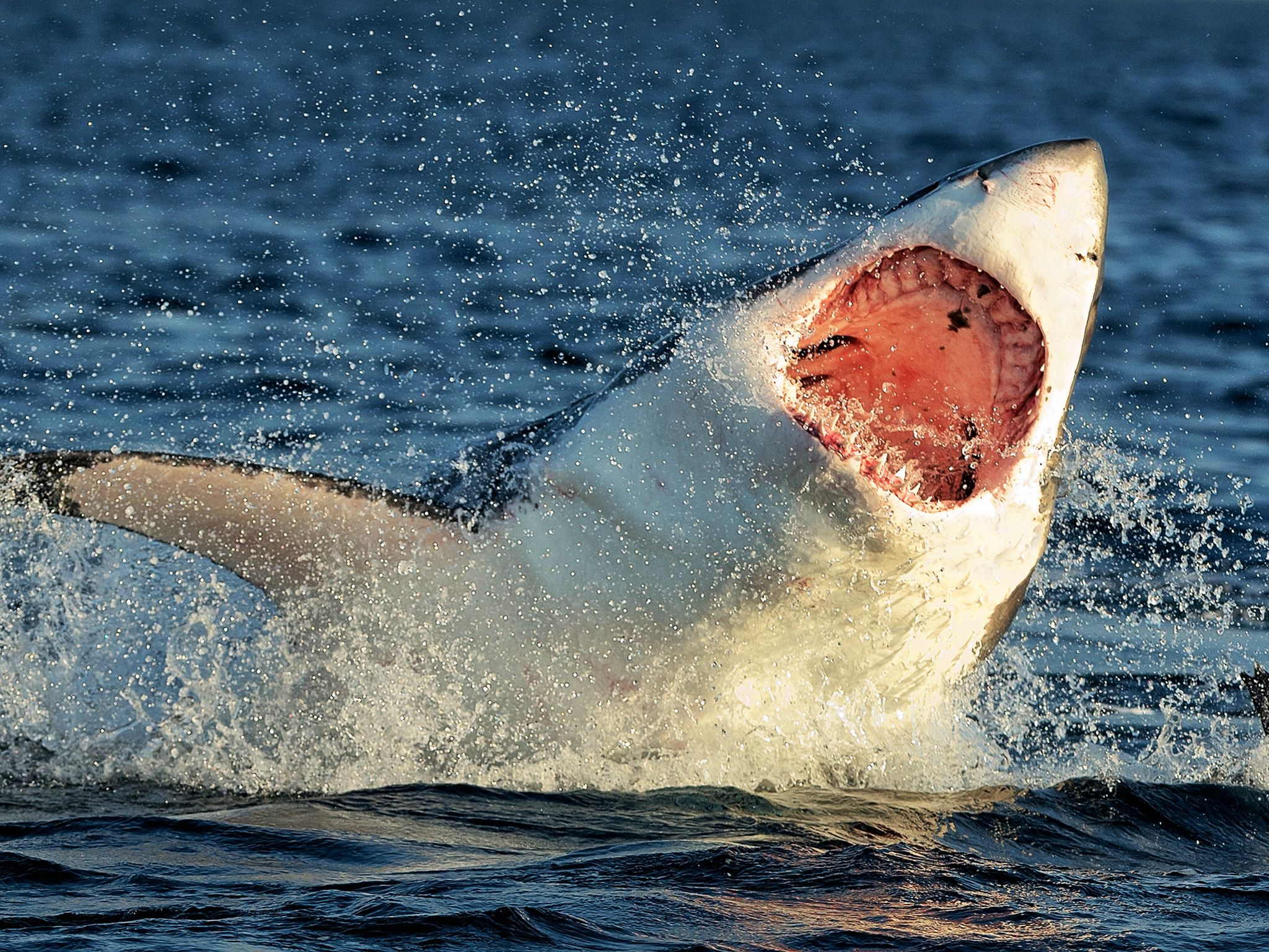 Great White Sharks rocket upwards at 35 mph to prey on Cape Fur Seals. This image is from... [Photo of the day - 一月 2015]