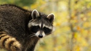 Washington, D.C.: A raccoon in autumn... [Photo of the day - JANUARY 28, 2015]