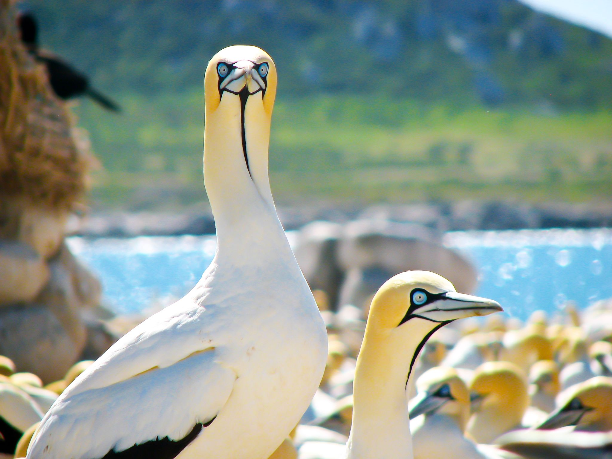 Cape Town, South Africa: Unlike most birds, the Cape Gannet's eyes are placed forward on the... [Photo of the day - January 2015]