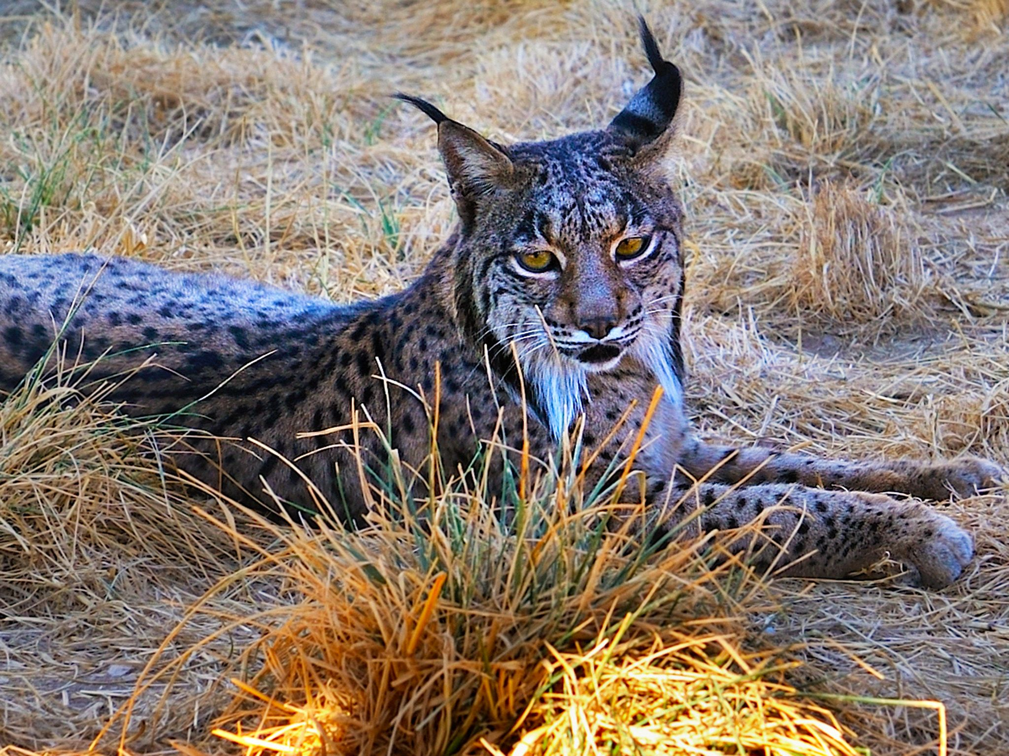 Iberian Lynx.  Encouraged and pushed by the EU's conservation policy, local authorities, scientis... [Photo of the day - February 2015]