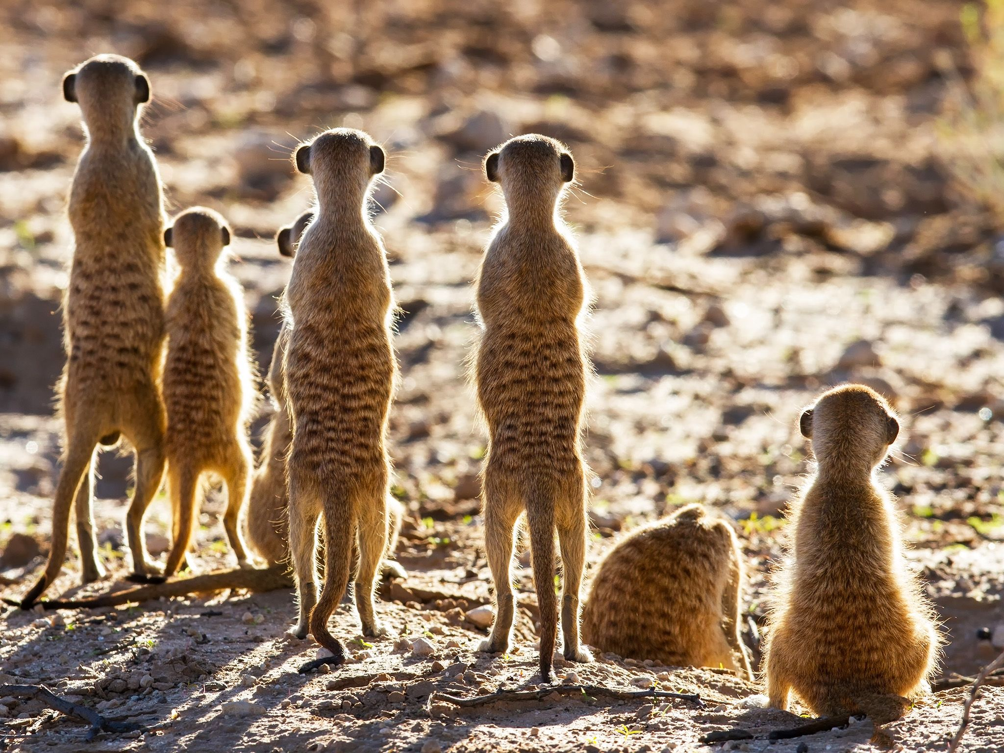 Meerkat sentries stand guard over their home, prepared to take on any less-than-friendly... [Photo of the day - فوریه 2015]