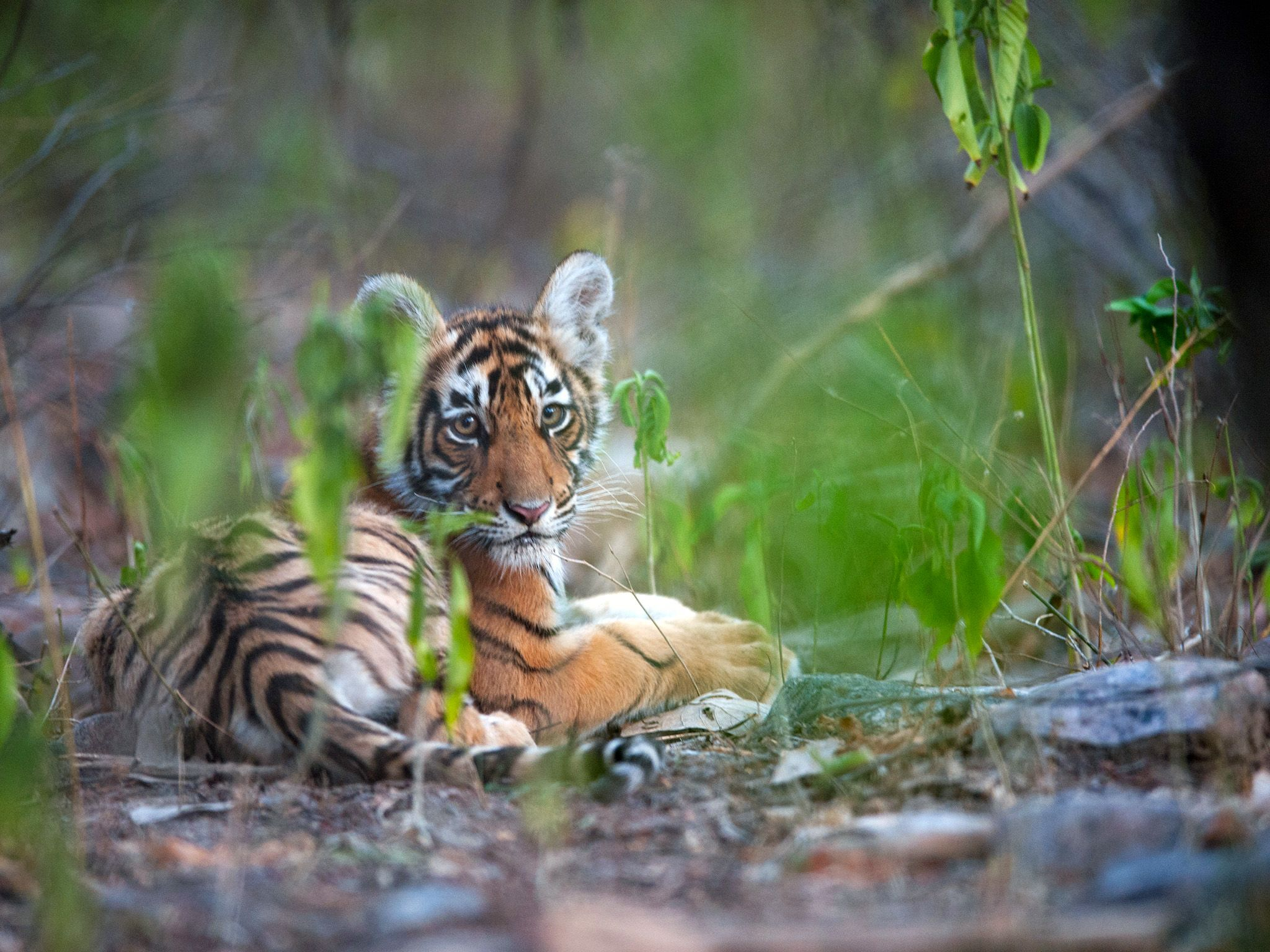Rajbagh Area, Ranthambore National Park: Sundari's cub.  This image is from Tiger's Revenge. [Photo of the day - فوریه 2015]
