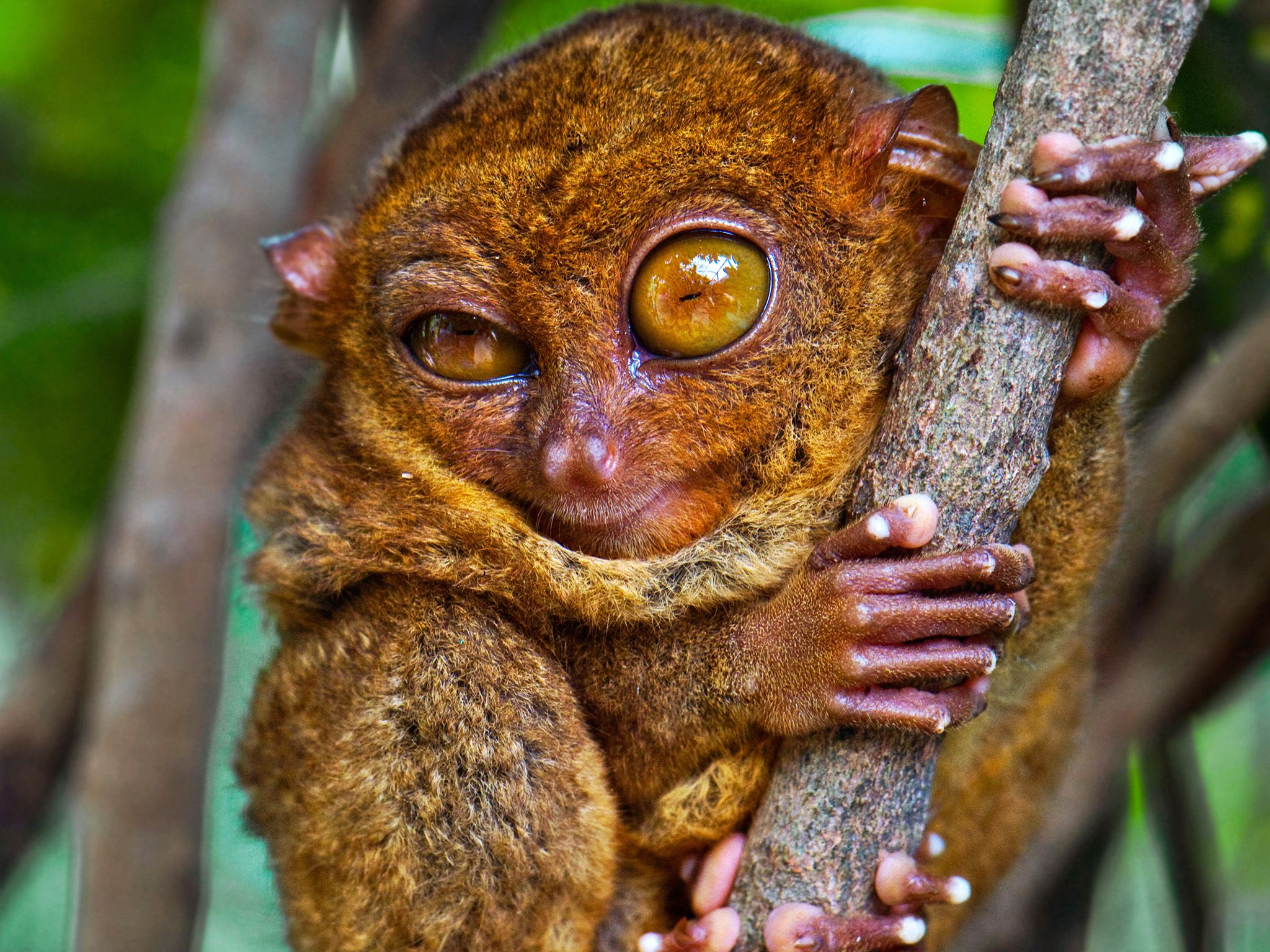 Don't be fooled by this winking tarsier; its eyes, hands, and legs are part of what make it a hig... [Photo of the day - February 2015]