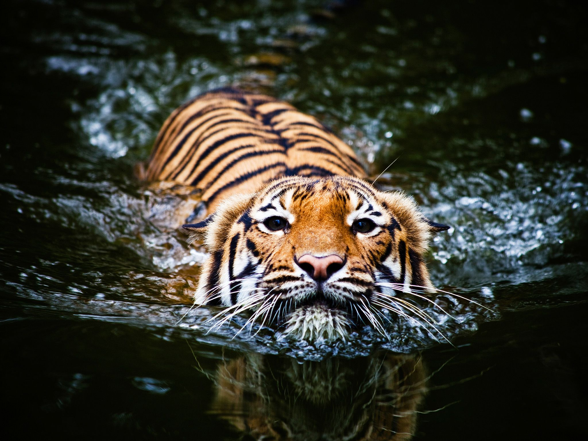 A tiger swimming, which they love to do, shows that they may have an advantage in a future water... [Photo of the day - فوریه 2015]