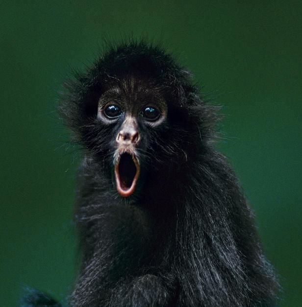 Portrait of an orphaned Peruvian spider monkey in Madidi National Park. [  -  2011]