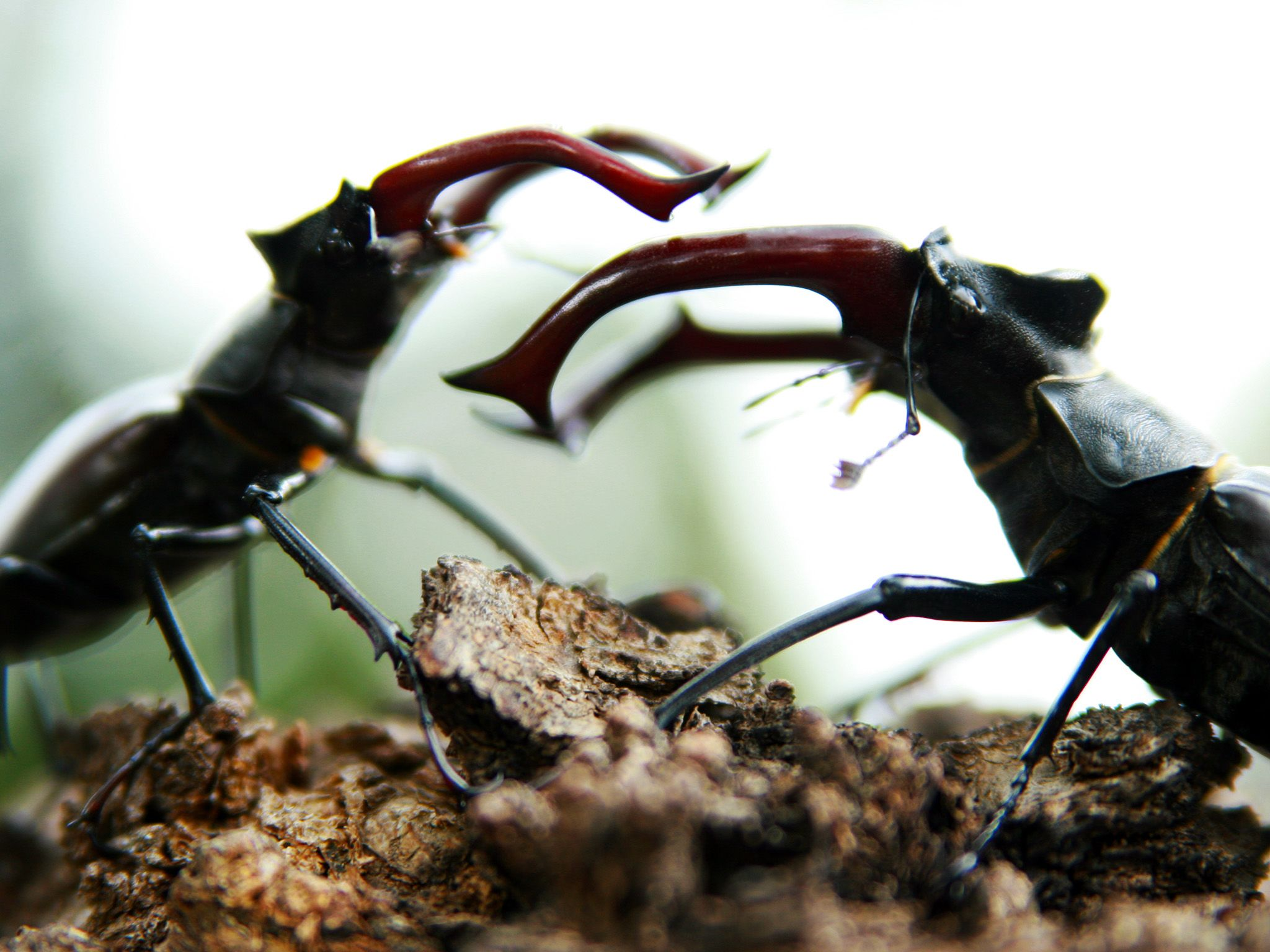 It's all about the girls: Stag beetles fight until one or the other falls off the tree.... [Photo of the day - February 2015]