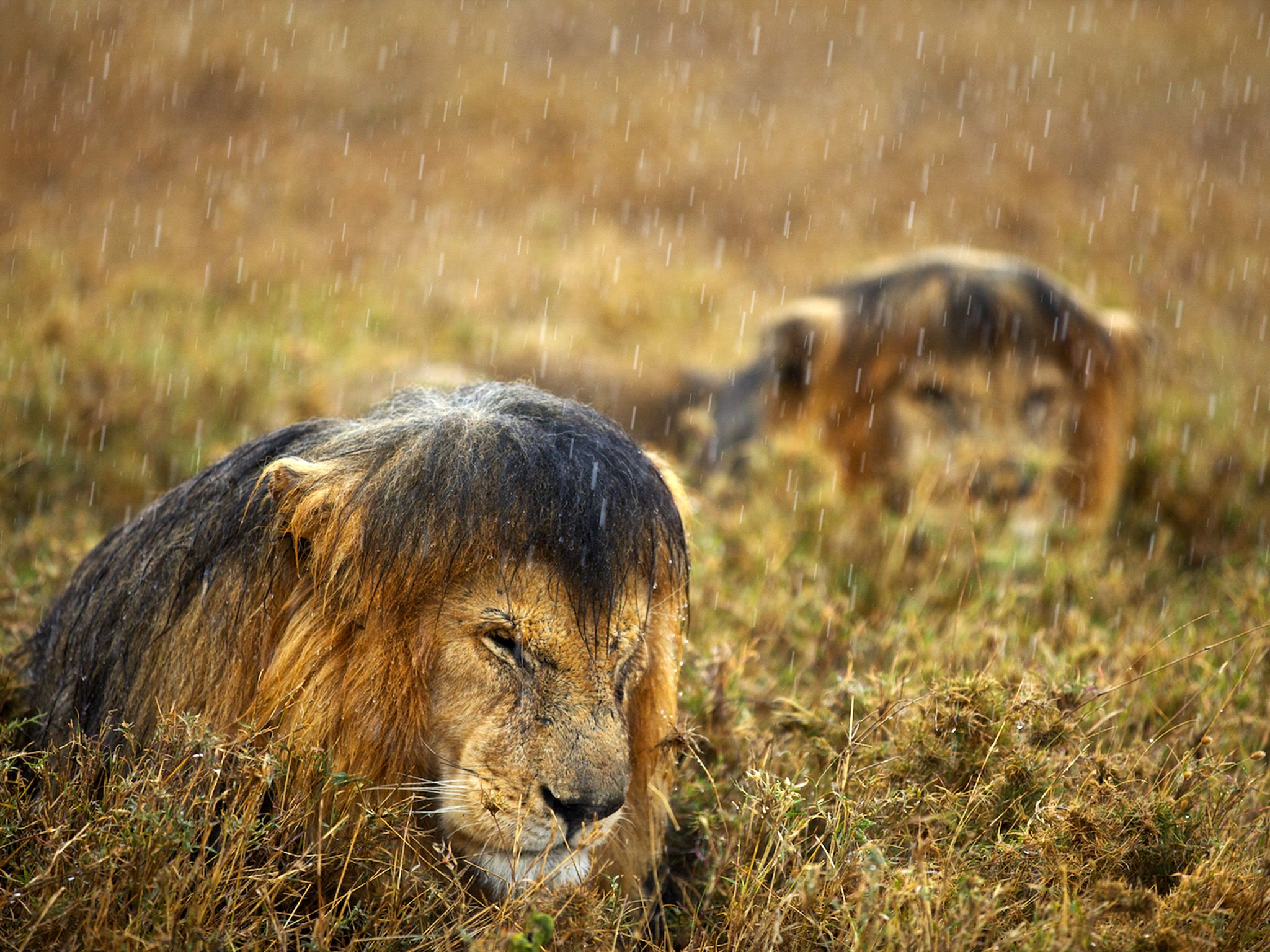 Lions getting soaked by the rain in Serengeti National Park, Tanzania. This image is from Lion Ga... [Photo of the day - February 2015]