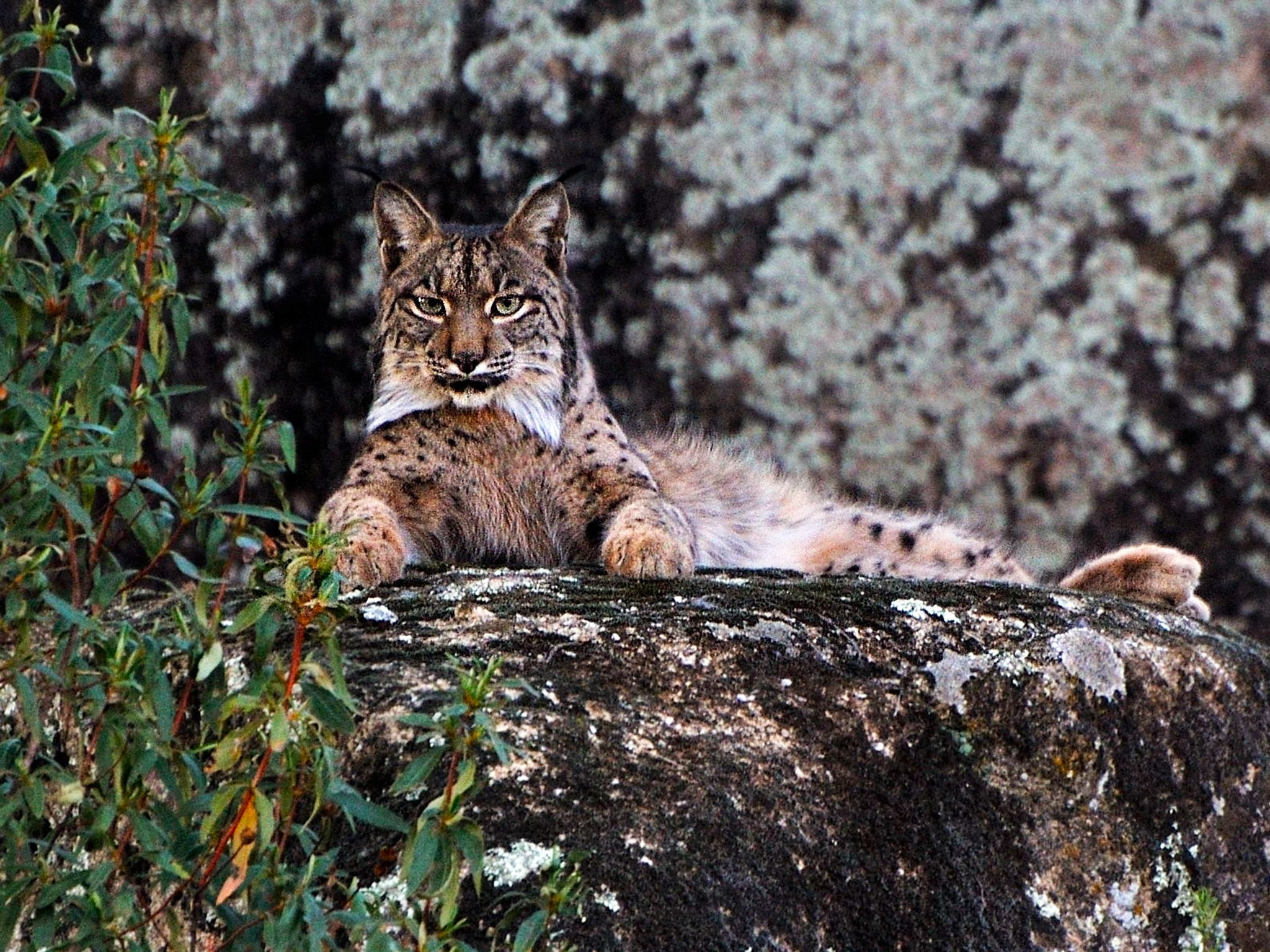Iberian Lynx in Sierra Morena.  Encouraged and pushed by the EU's conservation policy, local... [Photo of the day - فوریه 2015]