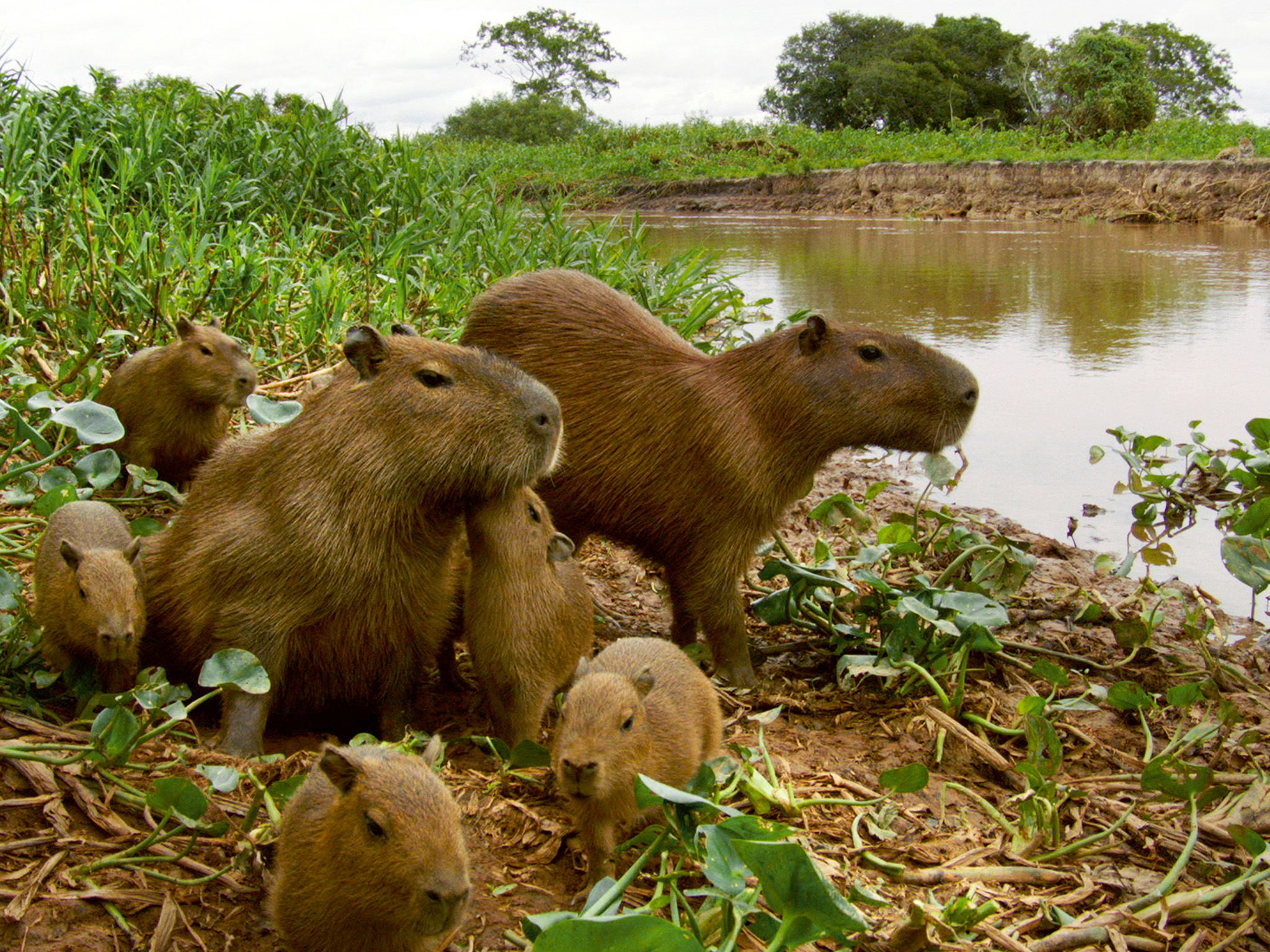 Pantanal, Brazil: Capybara (Hydrochoerus hydrochaeris) two adults with five young. This image is... [Photo of the day - فوریه 2015]