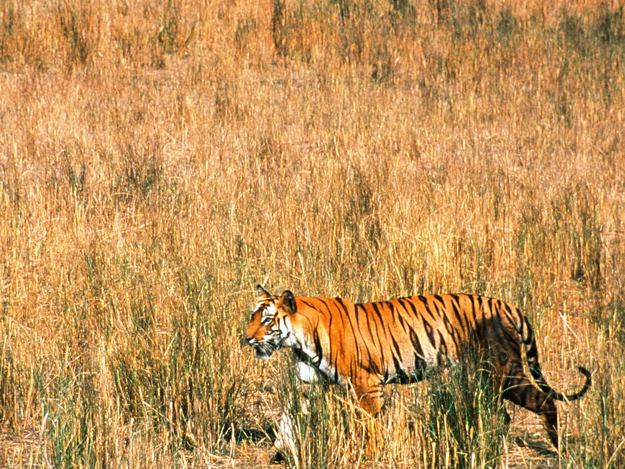Bandhavgarh, India: A remote and protected wilderness, Bandhavgarh, lies deep in the heart of... [Photo of the day - February 2015]
