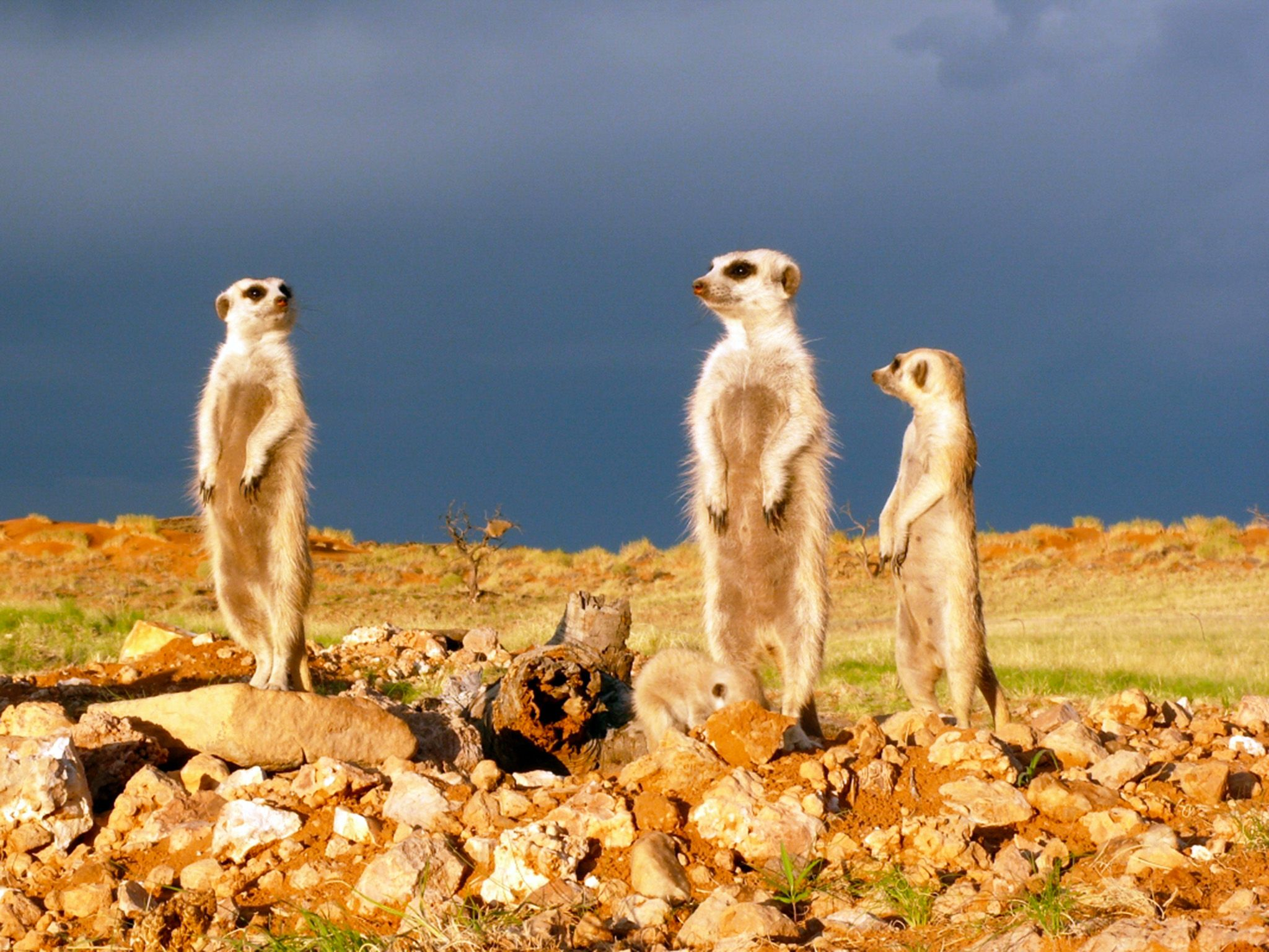 Fierce fights in meerkat society are mostly not within the family but neighbouring groups. This i... [Photo of the day - February 2015]