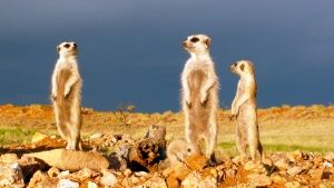 Fierce fights in meerkat society are ... [Photo of the day - 24 FEVEREIRO 2015]