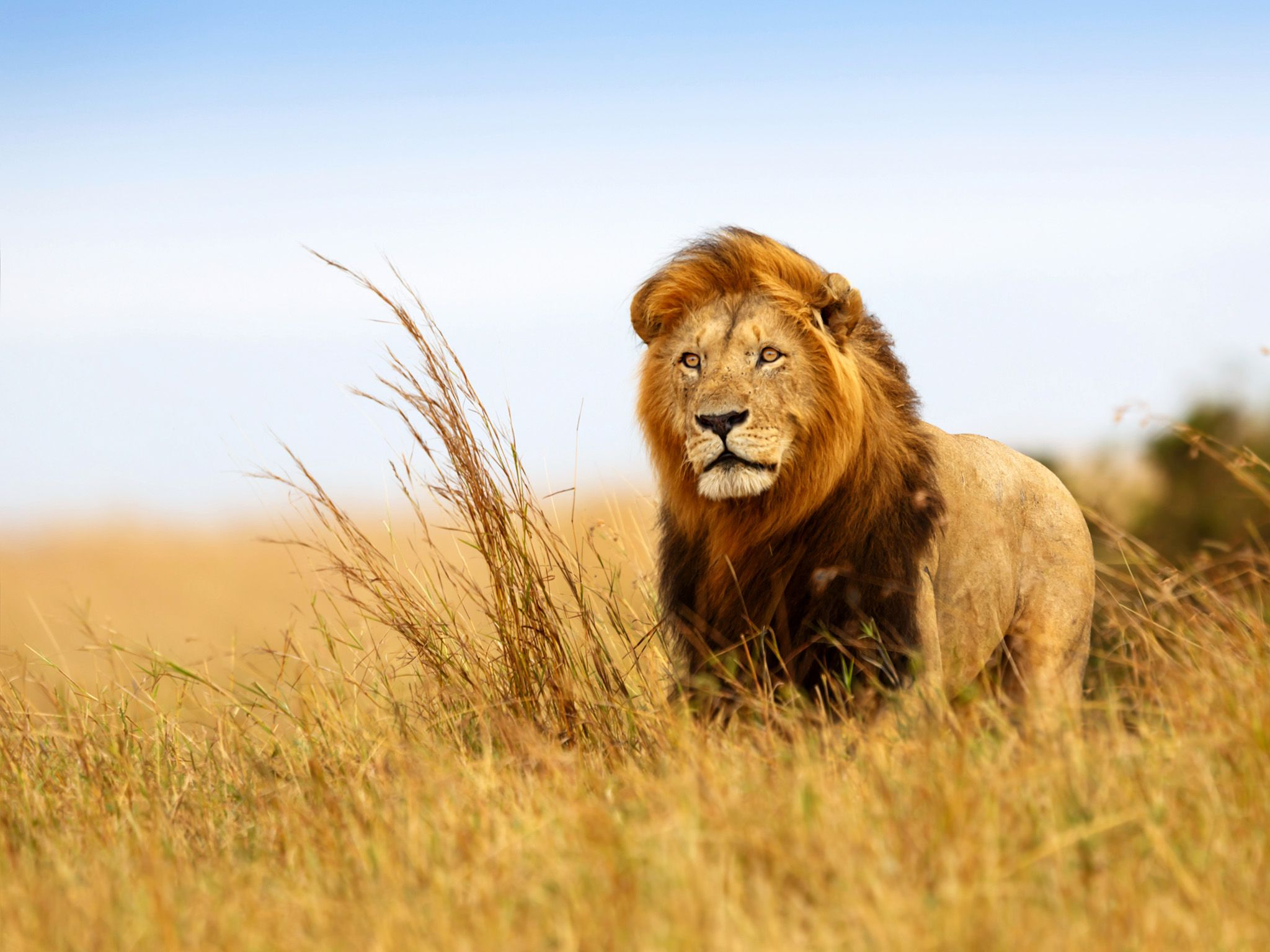 A majestic lion standing in a field. What will lions of the future be like?