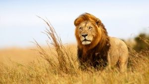 A majestic lion standing in a field. ... [Photo of the day - 25 FEBRUARY 2015]