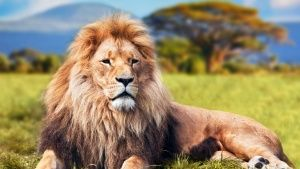 A lion sitting in a field showing the... [Photo of the day - FEBRUARY 28, 2015]