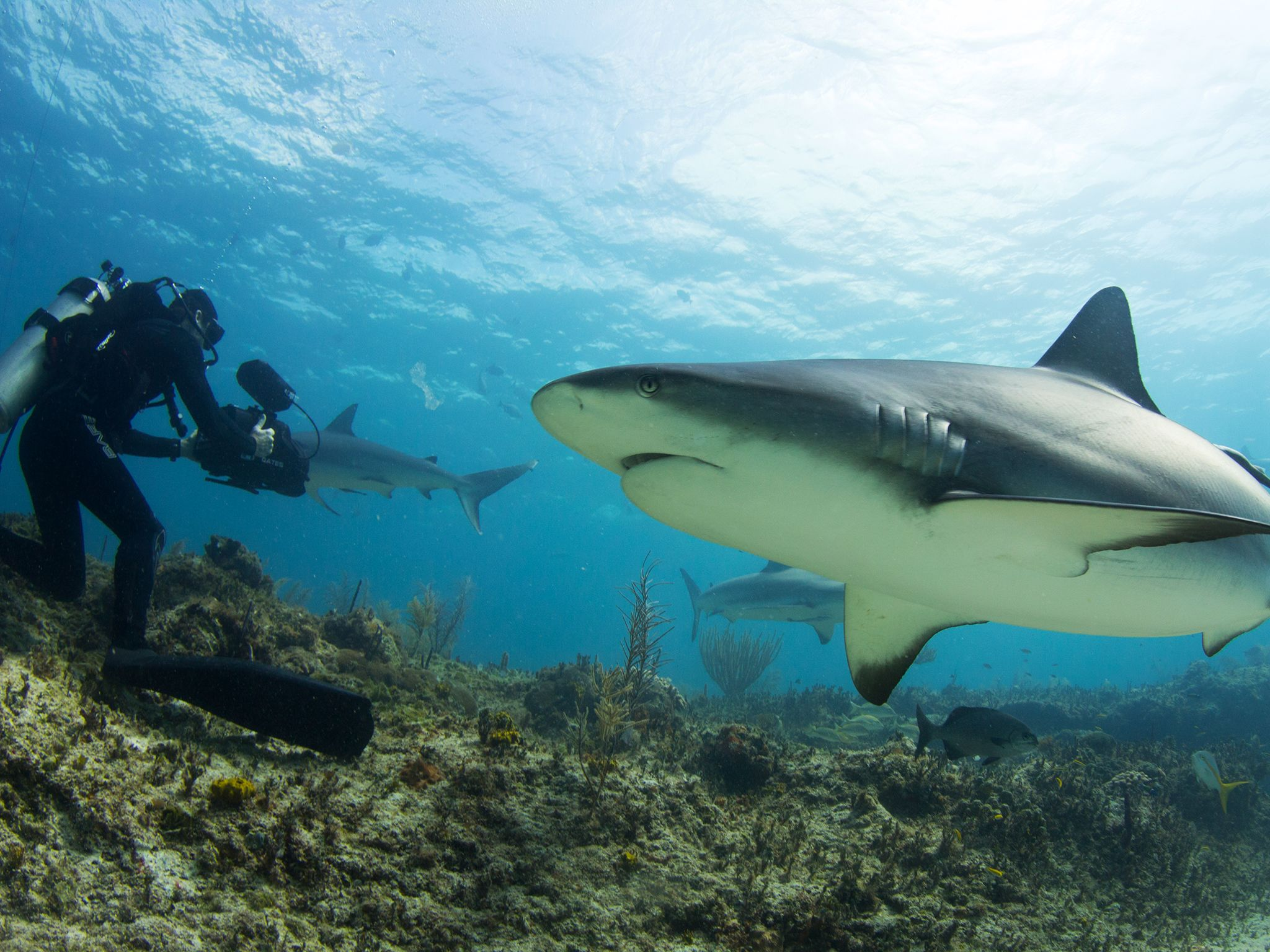 Palmyra Atoll: Tiger Shark and camerman. Dr. M. Sanjayan dives deep into the oceans to find out h... [Photo of the day - مارس 2015]