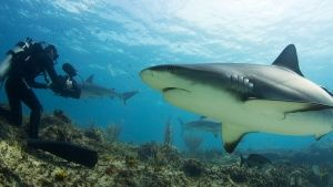 Palmyra Atoll: Tiger Shark and camerm... [Photo of the day -  1 MAART 2015]