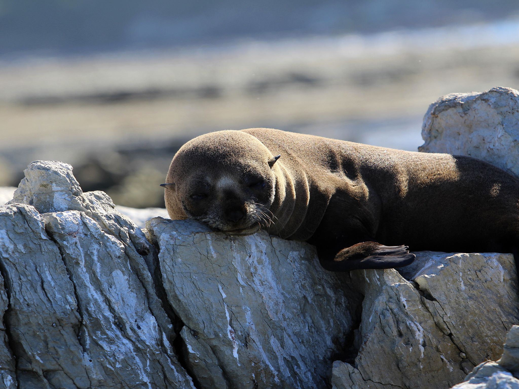 Young fur seal pup resting on a coastal rock formation on the beaches of Kaikoura, New Zealand, o... [Photo of the day - مارس 2015]