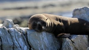 Young fur seal pup resting on a coast... [Dagens foto -  3 MARS 2015]