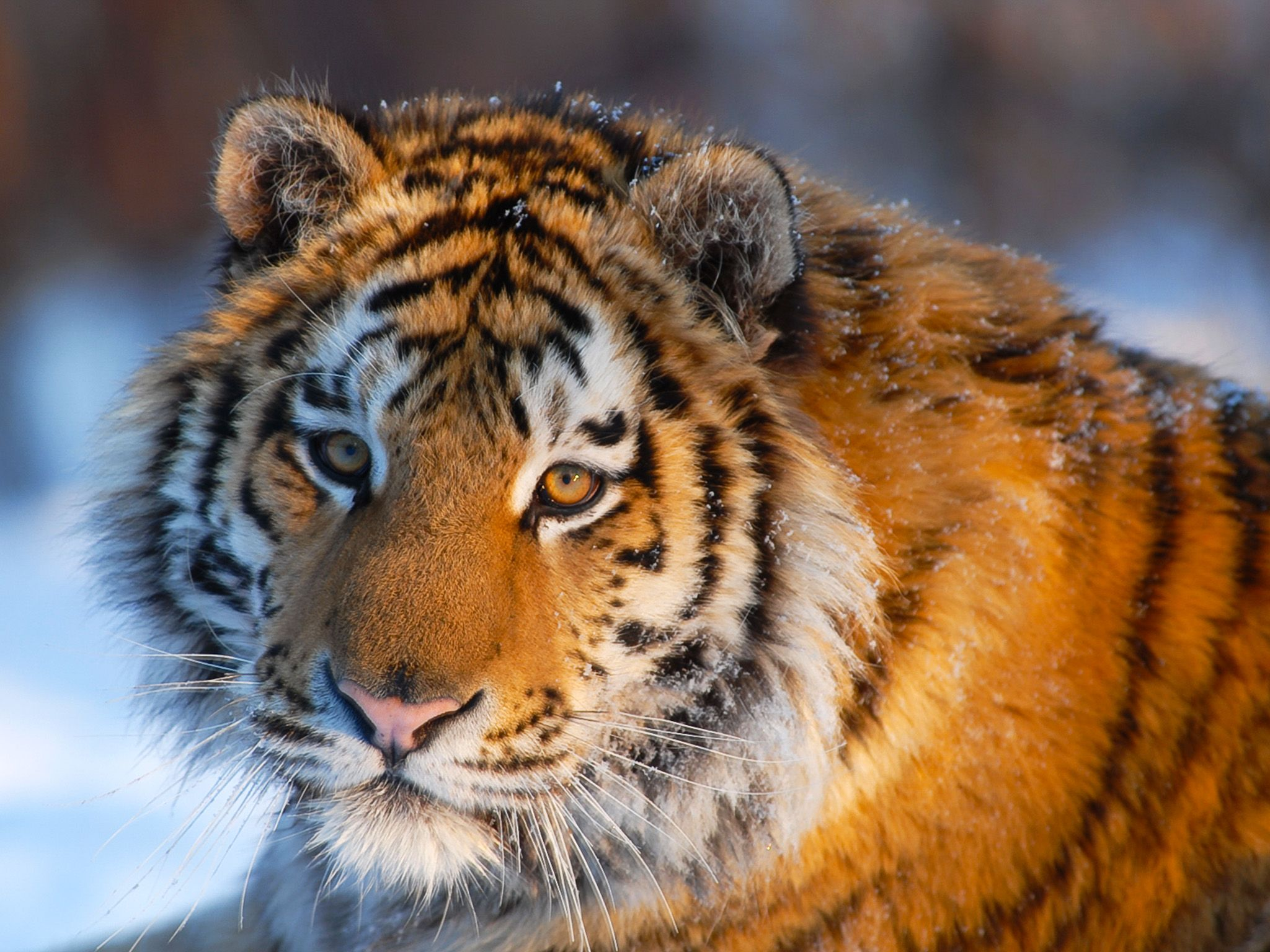The Siberian tiger is the world's biggest cat. 300 kilos and three metres of feline power... [Photo of the day - March 2015]