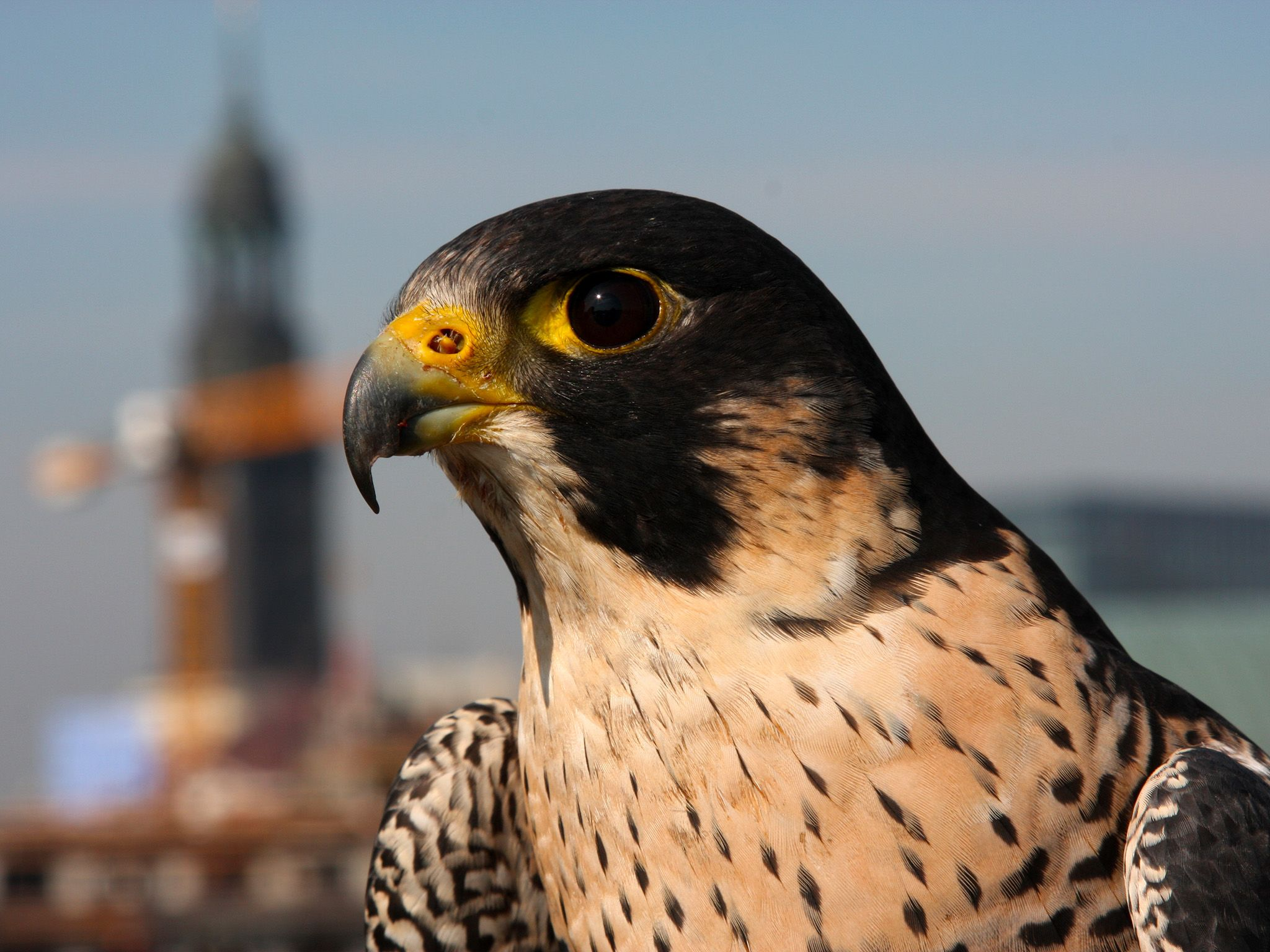When Peregrines dive they can reach maximum speeds of 322 kilometers per hour! They are the... [Photo of the day - March 2015]