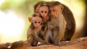 Sri Lanka: Three infant Toque Macaque... [Photo of the day - MARCH 28, 2015]