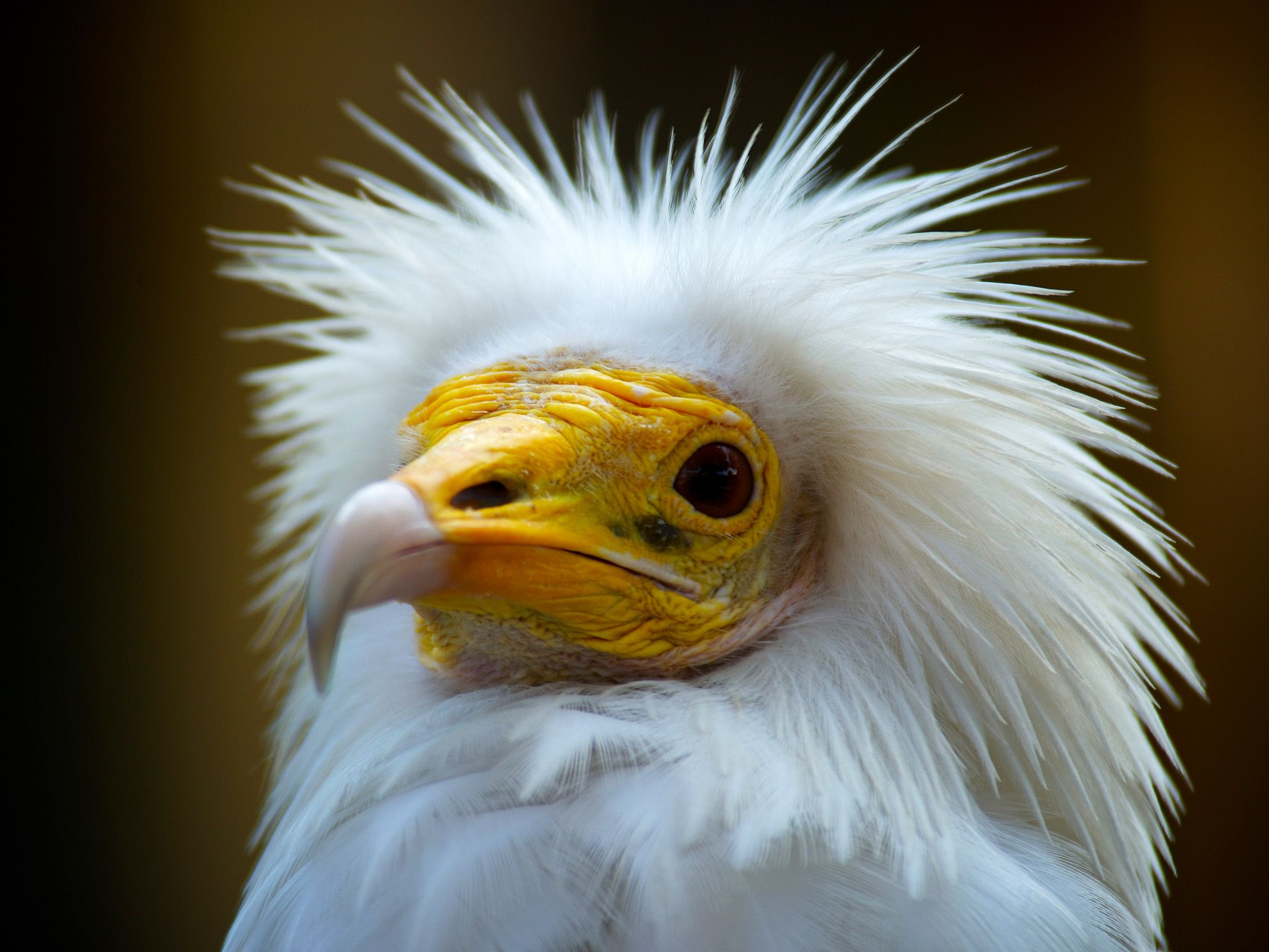 Bikaner, India: Egyptian vulture. A new look at humankind's relationship with the wildest... [Photo of the day - March 2015]