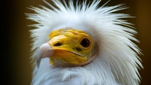 Bikaner, India: Egyptian vulture. A n... [Photo of the day - 29 MARTS 2015]