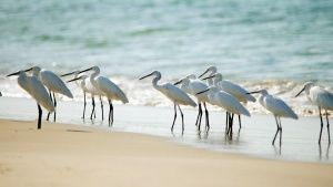 Sri Lanka: A flock of Little Egrets on the shoreline of a Sri Lankan beach. The Egrets wade into ... Photo of the day - 31 مارس 2015