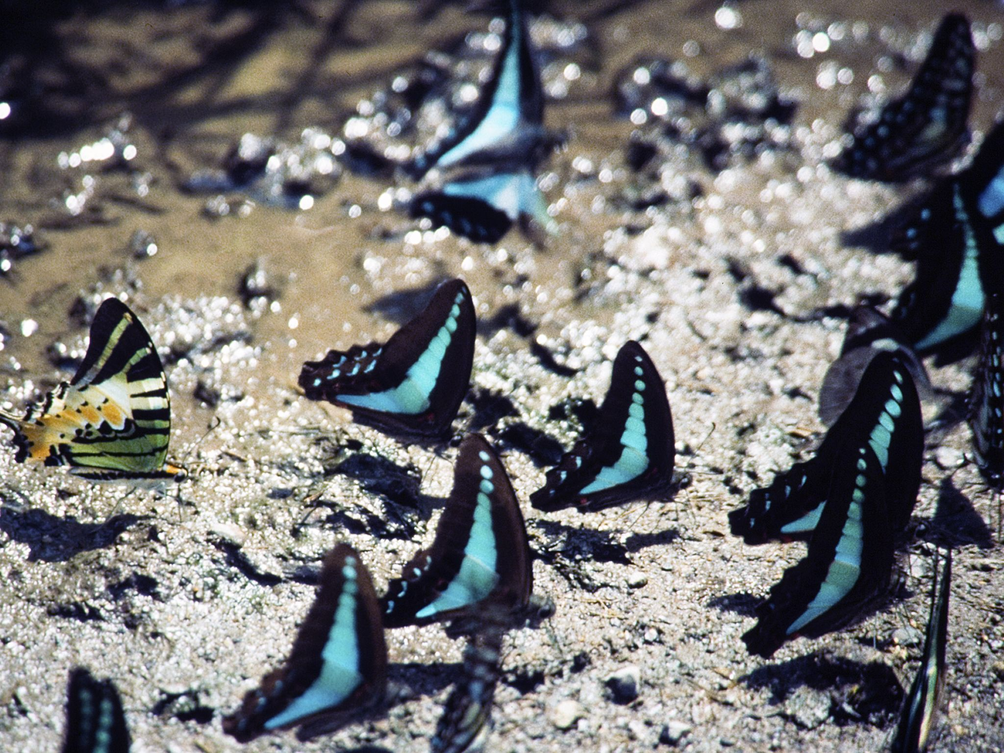 Common blue bottle butterflies, and a five-bar swallowtail. This image is from Wild Indonesia. [Photo of the day - April 2015]